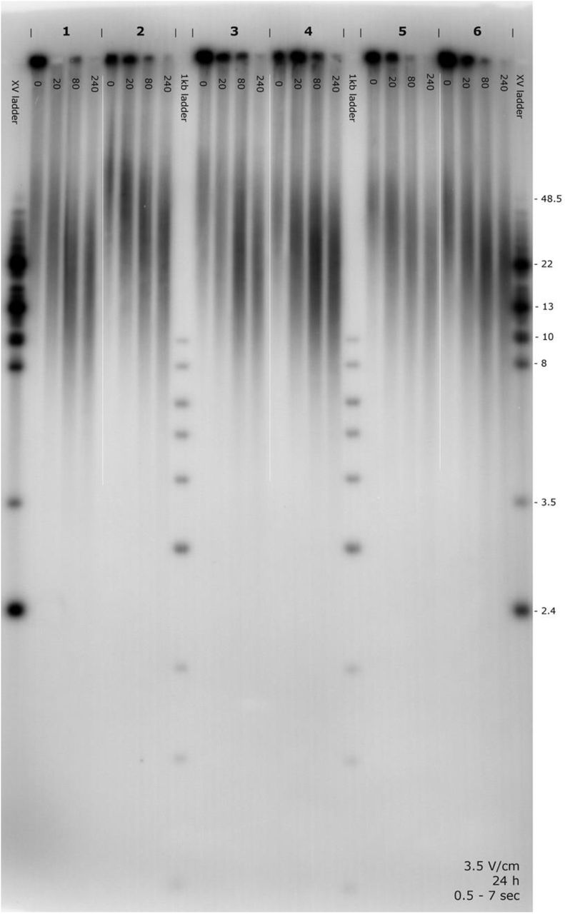 Pulsed field gel electrophoresis showing TTAGG n telomere restriction fragments from the denatured chromosomes of six individual crickets (indicated by the numbers 1-6). XV molecular size ladders are shown on the outer lanes and shorter 1kb ladders are shown between crickets 2-3 and 4-5. The photo shows four aliquots of DNA sample per cricket and these aliquots were exposed to 0 (i.e. untreated), 20, 80, and 240 minutes of Bal 31 . Each time series clearly shows that Bal 31 decreases the molecular size distribution of TTAGG fragments. The absence of a banded distribution in the smears suggest that interstitial telomeric repeats were not present and that chromosome strands were intact. Taken together, these findings show that TTAGG n fragments were located at the chromosome-ends.