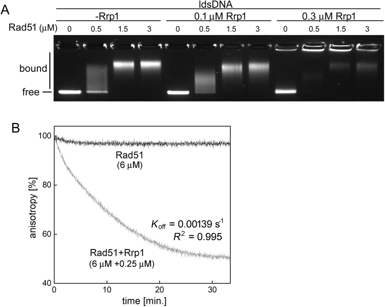 Rrp1 can disassemble Rad51-dsDNA complexes (A) Rrp1 outcompetes Rad51 for binding to dsDNA as demonstrated by electrophoretic mobility shift assay (EMSA). Increasing amounts of Rad51 were pre-incubated with linear double-stranded DNA (ldsDNA, PhiX 174 RF I linearized with ApaLI) before addition of the indicated concentration of Rrp1. Mixtures were resolved on an agarose gel and stained with SYBR-gold. (B) Rad51-dsDNA filaments disassemble following addition of Rrp1, as demonstrated by the reduction in anisotropy of fluorescently-labelled dsDNA. Rad51 (6 µM) was incubated with a dsDNA oligonucleotide (3 µM nucleotide concentration) labelled with the TAMRA fluorophore; the resultant high anisotropy value confirms filament formation. Unlabelled heterologous scavenger DNA was then added, followed by a sub stoichiometric amount of Rrp1 (0.25 µM) or the equivalent volume of protein storage buffer, and fluorescence anisotropy was monitored for the indicated time. The decline in anisotropy observed in the reaction containing Rrp1 indicates that Rad51-dsDNA complexes are disassembled.