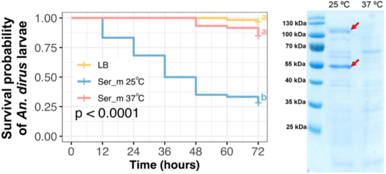 S. marcescens secreted larvicidal molecules when cultured under static condition at 25 °C but not 37 °C. (A) Survival curve of An. dirus larvae after treatment with S. marcescens spent media cultured under static condition at 25 °C or 37 °C. The experiment was performed in triplicate. Statistical significance of the survival analyses was calculated using Log-rank test followed by a Bonferroni post-hoc analysis using 'survminer 'package in R. (B) SDS-PAGE of S. marcescens spent media cultured under static condition at 25 °C or 37 °C. Two red arrows indicate major protein bands that were expressed when the bacterium was cultured at 25 °C but not 37 °C.