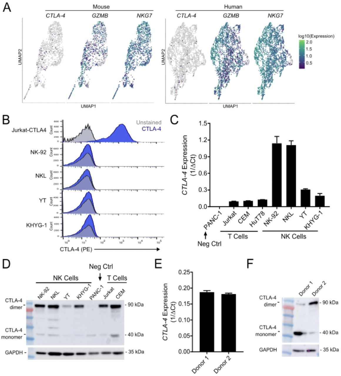 CTLA-4 is expressed by both human NK cell lines and healthy human donor-derived NK cells. A. UMAP dimension reduction with cells colored by single-cell gene expression for CTLA-4 and representative immune activation genes in mouse (left) and human (right) intratumoral NK cells. The pattern of CTLA-4 expression is consistent with the reduced ability of scRNA-seq to capture low to moderately expressed genes. B. Flow cytometry for surface expression of CTLA-4 in positive control (Jurkat-CTLA4) and NK cell lines (NK-92, NKL, YT, KHYG-1). C. Quantitative real-time PCR (qrt-PCR) analysis of CTLA-4 expression in a CTLA-4 null line (PANC-1), T cell lines (Jurkat, CEM, HuT78), NK cell lines (NK-92, NKL, YT, KHYG-1). D. Western blot demonstrating CTLA-4 expression in human NK cell lines. E. qrt-PCR demonstrating CTLA-4 expression in CD56+ selected ex vivo unstimulated NK cells derived from healthy human donors. Graphs are representative of 4 donors. F. Western blot of CTLA-4 expression in CD56+ selected ex vivo unstimulated NK cells derived from healthy human donors. Blots are representative of 4 donors.
