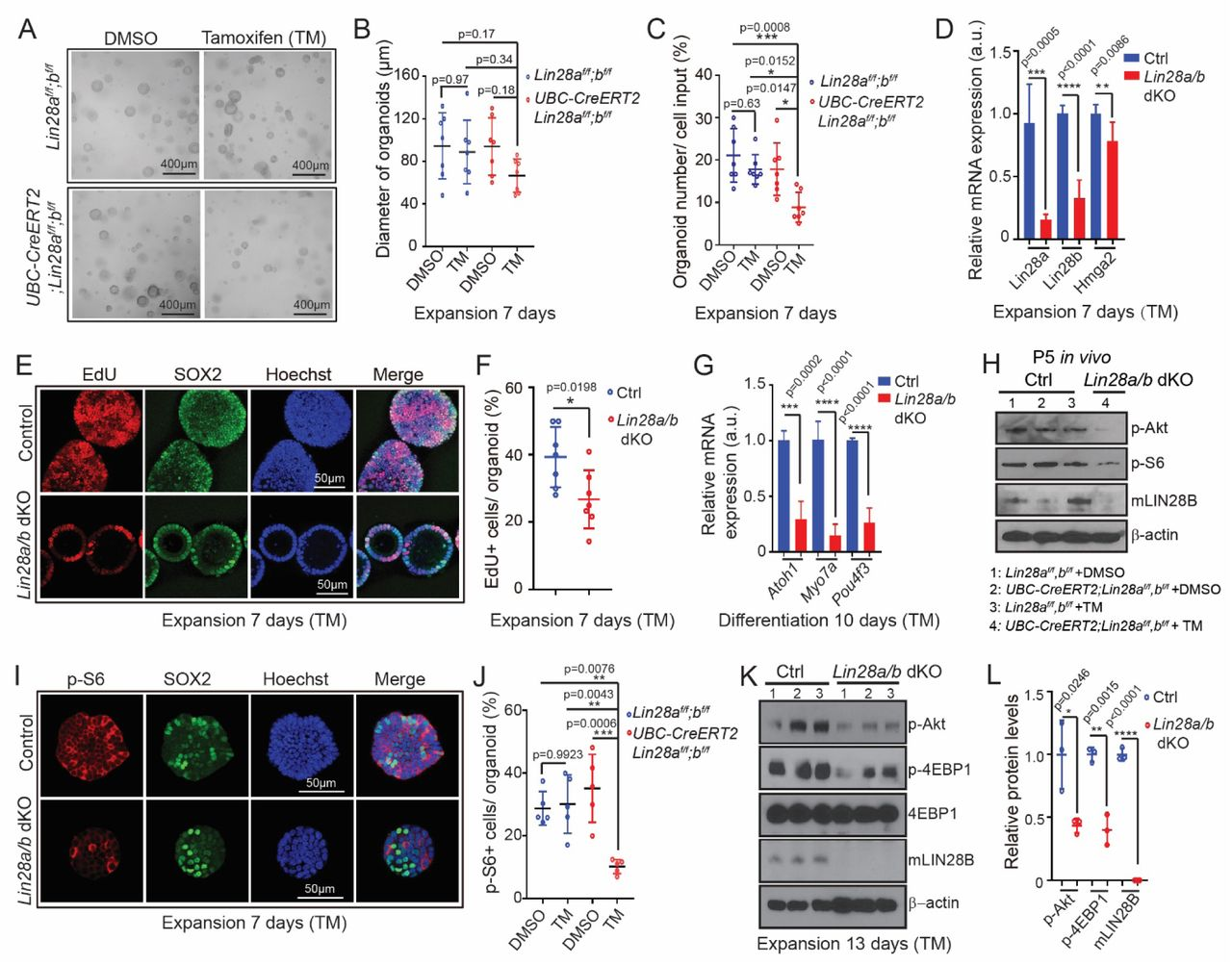 Loss of LIN28A/B attenuates mTOR signaling and limits supporting cell proliferation and hair cell formation in cochlear organoid culture. Cochlear organoid cultures were established from UBC-CreERT2; Lin28a f/f ; Lin28b f/f mice and Lin28a f/f ; Lin28b f/f littermates' stage P2. Cultures received 4-hydroxytamoxifen (TM) or vehicle control DMSO at plating. SOX2 (green) marks supporting cells/ pro-sensory cells, Hoechst (blue) staining marks cell nuclei. Bars in (D) and (G) represent mean± SD, otherwise individual data points and their mean ± SD were plotted. (A-G) Loss of Lin28a/b inhibits cell proliferation and hair cell production in organoid culture. ( A ) Representative BF images of control organoids and Lin28a/b dKO organoids at 7 days of expansion. ( B ) Diameter of control and Lin28a/b dKO organoids in ( A ) (n=7 animals per group, from 2 independent experiments). ( C ) Organoid forming efficiency in control and Lin28a/b dKO cultures (n=7 animals per group, from 2 independent experiments). ( D ) RT-qPCR analysis of Lin28a, Lin28b and Hmga2 mRNA expression in Lin28a/b dKO organoids (red bar) compared to control organoids (blue bar) at 7 days of expansion (n=5-6 animals per group, from 2 independent experiments). ( E ) Cell proliferation in control and Lin28a/b dKO organoids. A single EdU pulse was given at 7 days of expansion and EdU incorporation (red) was analyzed 1 hour later. ( F ) EdU incorporation in ( E ) (n=7 animals per group, from 2 independent experiments). ( G ) RT-qPCR analysis of Atoh1, Myo7a and Pou4f3 mRNA expression in Lin28a/b dKO organoids (red bar) compared to control organoids (blue bar) at 10 days of differentiation (n=4 animals per group, from 2 independent experiments). (H) Immunoblots for LIN28B, p-Akt, p-S6 and <t>β-actin</t> using protein lysates of acutely isolated control and Lin28a/b dKO cochlear epithelia, stage P5. ( I - L ) Loss of Lin28a/b attenuates mTOR signaling in cochlear organoids. ( I ) Immunostaining for p-S6 protein (r