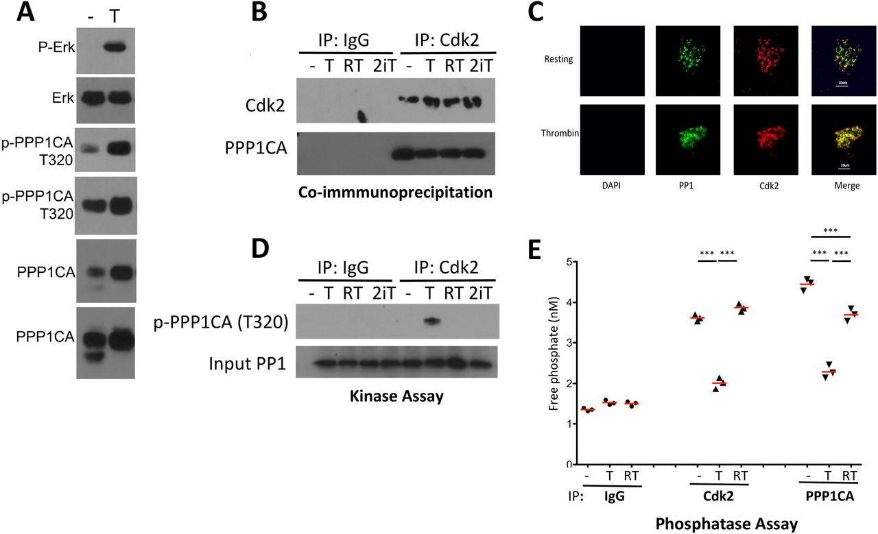 Cdk2 associates with and phosphorylates PPP1CA in platelets, inhibiting its activity. A. Phosphorylation of PPP1CA in thrombin activated platelets. 2 exposures of total and phospho-PPP1CA shown; the lower PPP1CA band is non-phosphorylated. B . Co-immunoprecipitation of PPP1CA with cdk2; - (DMSO vehicle), T (0.5 U/ml thrombin), R (roscovitine), 2i (cdk2 peptide inhibitor); 10 minute exposure to thrombin before pulldown. C . Immunofluorescence staining of platelets for PPP1CA (PP1) and Cdk2. Absence of DAPI signal confirmed absence of nucleated cells. 250x, bar 10 um. D . Kinase assay. Cdk2 (or Ig control) immunoprecipitates were incubated with recombinant PPP1CA (input, 0.5 ug/Rx) followed by WB of reaction mixture for phospho-PPP1CA. E . Phosphatase assay. Immunoprecipitates of platelets exposed to vehicle (−), thrombin (T) or roscovitine plus thrombin (RT) were reacted with a PP1/2a-specific phosphatase substrate and liberation of phosphate measured.
