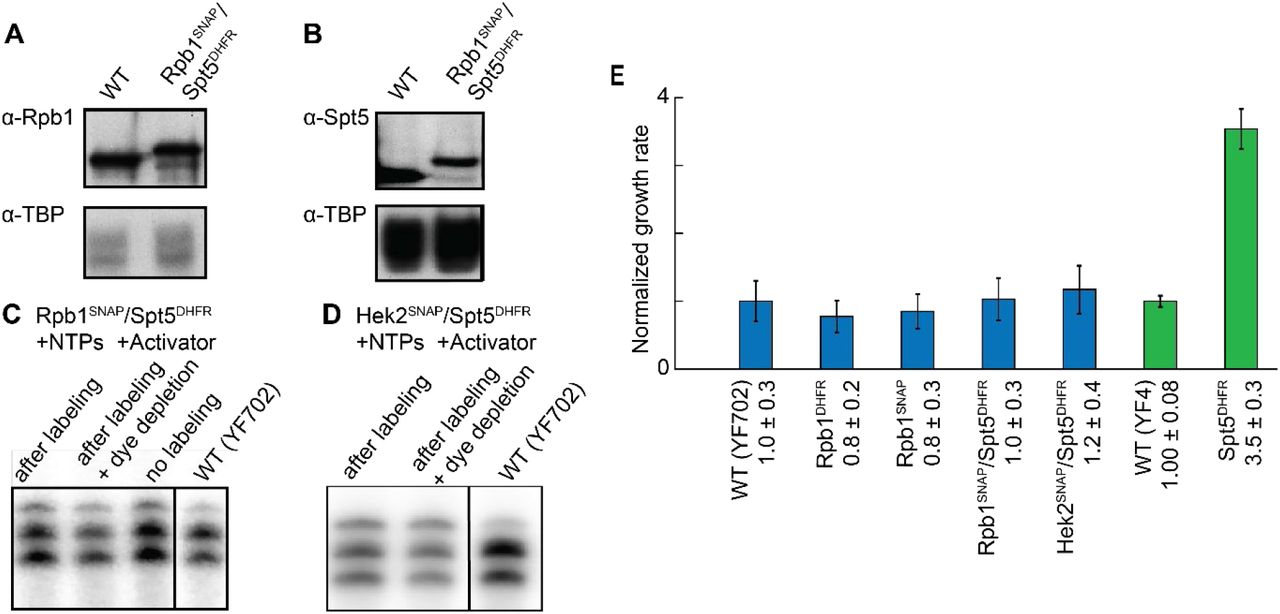 Tagged yeast strains have growth rates, nuclear extract protein expression levels, and transcription activities similar to wild-type. (A) Western blot showing that the concentrations of Rpb1 SNAP in Rpb1 SNAP /Spt5 DHFR strain (YSB3403; see Table S5 ) (lane 2) and Rpb1 in parental strain (WT; YF702) are similar. TATA binding protein (TBP) was used as a loading control. Rpb1 was detected by monoclonal antibody 8WG16 ( 66 ) and TBP by a polyclonal anti-TBP antibody ( 67 ). (B) Western blot showing that the concentration of Spt5 DHFR in Rpb1 SNAP /Spt5 DHFR strain is similar to that of Spt5 in the parental strain. The anti-Spt5 antibody ( 68 ) was provided by Grant Hartzog. (C and D) RNA produced in bulk from plasmid transcription by Rpb1 SNAP /Spt5 DHFR (C) and Hek2 SNAP /Spt5 DHFR (D) nuclear extracts in comparison with extracts from corresponding parental strains (WT; see Table S5 ). Where indicated, extracts were labeled with 0.5 μM SNAP-Surface 549 and subsequently depleted of unreacted dye. Bulk in vitro transcription reactions were performed with 400 μM each ATP, CTP, and UTP supplemented with [α- 32 P]- UTP, separated by urea polyacrylamide gel electrophoresis, and visualized by autoradiography. The lower two bands in each lane are the transcripts from the two major transcription start sites of the template. The same volume of nuclear extract preparation was used in each reaction (10 μL in C and 8 μL in D); all extract preparations were 30-40 mg/mL protein. (E) Growth rates (mean ± S.E.; N = 5) of tagged strains relative to the corresponding parental (WT) strain. Colors denote correspondence between parental (YF702, blue; YF4, green) and tagged strains.