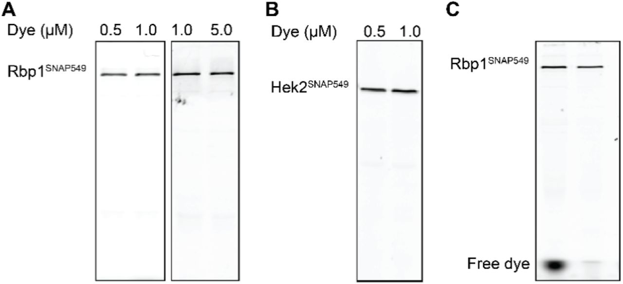 Labeling efficiency of Rpb1 SNAP549 in nuclear extracts. Panels show SDS PAGE gels scanned for SNAP-Surface 549 fluorescence intensity. (A) Rpb1 SNAP549 /Spt5 DHFR yeast nuclear extract prepared with different concentrations of SNAP-Surface 549 dye and depleted of residual dye as described (see Materials and Methods). A concentration of 0.5 μM SNAP-Surface 549 was judged sufficient for maximal labeling. (B) Same as (A) but for Hek2 SNAP549 /Spt5 DHFR extract. Again, a concentration of 0.5 μM SNAP-Surface 549 was judged sufficient for maximal labeling. (C) Effectiveness of the dye depletion protocol at removing unincorporated dye after extract labeling. Lanes contain Rpb1 SNAP / Spt5 DHFR extract labeled with 0.5 μM SNAP-Surface 549 before (left) and after (right) dye depletion.