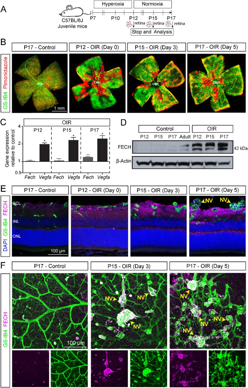 Ferrochelatase (FECH) expression and vascular pathology in the oxygen-induced retinopathy (OIR) mouse model. A ) Scheme: Juvenile C57BL/6J mice at postnatal day (P) 7 were exposed to hyperoxia chamber for 5 days and returned to room air (normoxia) at P12. Retinal analysis was performed at various time points as indicated. Retinas were isolated for RNA analysis, or fixed, cryosectioned, and immunostained, and retinal sections or whole flatmounts were analyzed. B ) Retinal flatmount from OIR and control retinas stained with GS-IB4 (green; labels vasculature) and pimonidazole (red; labels hypoxic regions) showing the temporal pattern of hypoxia and formation of pathological neovascular tufts in OIR retina. C ) Gene expression analysis of Fech and Vegfa by qPCR of RNA derived from whole retinal samples. Temporal analysis indicated Fech and Vegfa are upregulated in OIR. C t valves from gene expression data were normalized to the housekeeping genes ( Tbp and Hprt ) and respective age matched untouched retina control (ΔΔC t method). All qPCR reactions were run in technical triplicate, N=3 biological replicates. Data presented as mean ± SEM, *p