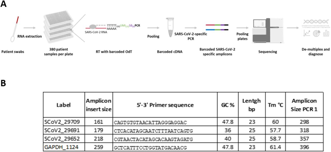 (A) Schematic representation of the protocol. Using a low volume liquid handling robot, the patients' RNA is distributed in 384-well plates containing indexed oligo-dT primers. Barcoded cDNA is generated by reverse transcription and pooled into a single tube. Libraries are produced from SARS-CoV-2-specific amplicons and sequenced. Reads are de-multiplexed based on both a plate and a sample barcode and used for downstream diagnostic analysis. (B) Amplicon primer design. The table contains the sequences of the forward primers used to generate the different amplicons. The reverse primer is common to all amplicons and it anneals to the 3'-end of the barcoded oligo-dT primers used to generate cDNA in the reverse transcription. The primer labels contain the position of the first sequenced base. Insert length was calculated using the start of the poly-A sequence. SARS-CoV-2 NC_045512_2 sequence and GAPDH NM_002046.4 sequence were used as reference. For the theoretical size of the amplicon after PCR 1 the Nextera Tag (34bp), the length of the barcoded Oligo-dT-primer (80bp) and the primer sequence was added.