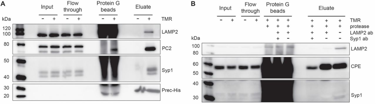 Characterization of enrichment purity. ( A ) Purified SG lysates were probed for LAMP2, PC2 and Syp1 by Western Blot. ( B ) SG purification with a subsequent second immunodepletion step with antibodies either against LAMP2 alone or in combination with Syp1.