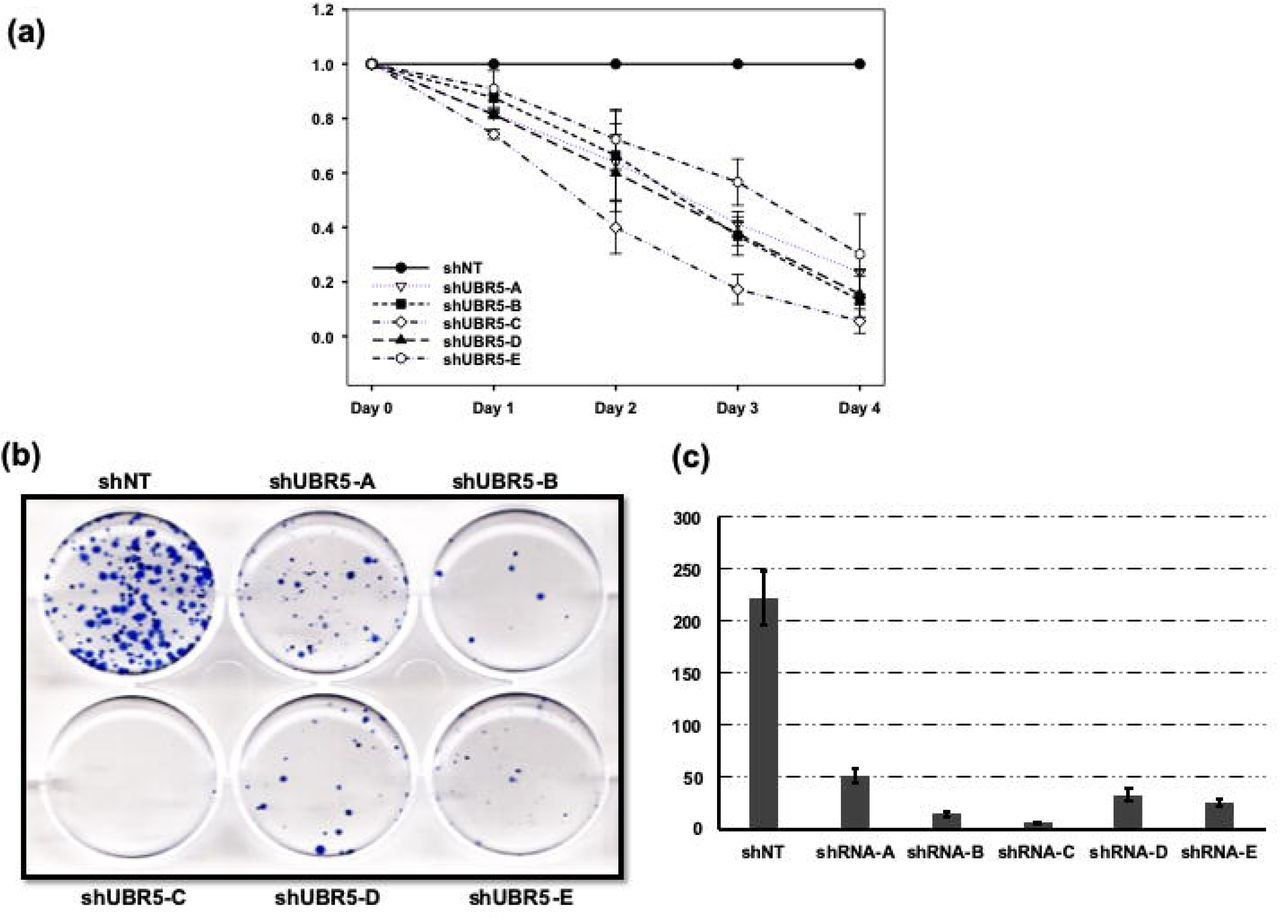 UBR5 deficient A549 cells show decreased cell viability and clonogenic potential. (a) A549 cells were infected with the lenti-viruses from multiple shRNA construct against UBR5 and were cultured for 4 days. Alamar Blue readings were recorded every 24 hours and relative cell viability of UBR5 deficient cells were compared to control cells on each day. (b) A549 cells were infected with shRNA against UBR5 and 1000 cells were cultured in 6-well plate for 10 days. Colonies were fixed in methanol and stained with crystal violet. (c) Quantitative evaluation of clonogenic assay. Representative bar graph showing number of colonies formed per 1000 cells