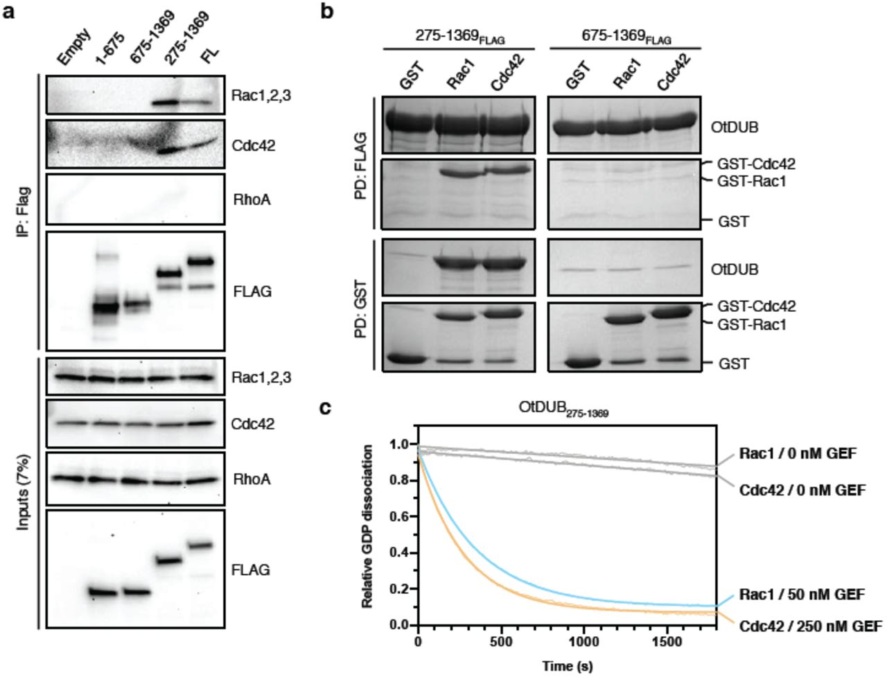 OtDUB binds Rac1 and Cdc42 and catalyzes nucleotide exchange in vitro (a) Inputs and anti-Flag immunoprecipitates of lysates from HeLa cell ectopically expressing the indicated Flag-tagged OtDUB fragments. Proteins were resolved by SDS-PAGE and immunoblotted for Rho GTPases (Rac1,2,3; Cdc42; RhoA). (b) FLAG (top) and reciprocal GST (bottom) pulldown experiments between purified recombinant FLAG-tagged OtDUB fragments and GST-tagged Rac1 or Cdc42. Proteins were resolved by SDS-PAGE and stained with Coomassie Blue. (c) Time course of the dissociation of <t>BODIPY-GDP</t> from Rac1 or Cdc42 (9 μM) in the presence of OtDUB 275-1369 (0, 50, or 250 nM) as measured by loss of BODIPY-GDP fluorescence. Excitation and emission wavelength were 488 nm and 535 nm, respectively.