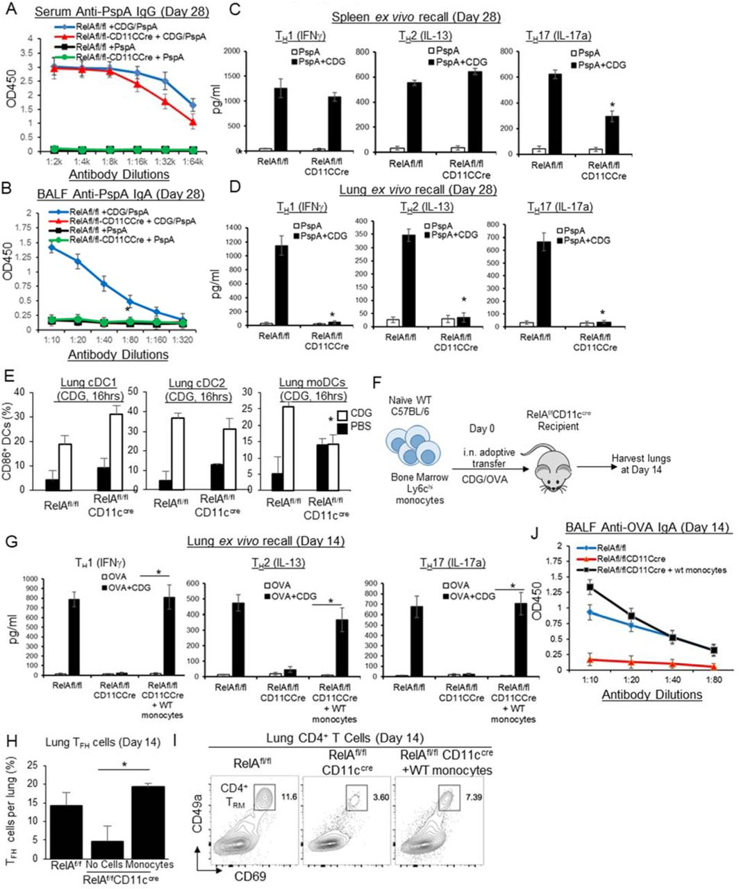 moDCs promote CDG adjuvant-induced lung mucosal IgA and CD4 memory T H responses. A-B . RelA fl/fl and RelA fl/fl CD11c cre mice were immunized ( i.n .) with two doses (14 days apart) of PspA or PspA plus CDG (5μg). Anti-PspA IgG in serum ( A ) and IgA in BALF ( B ) were determined by ELISA 28 days post-immunization. (n=3mice/group) Data are representative of three independent experiments. C-D . Lung cells ( D ) or splenocytes ( C ) from immunized RelA fl/fl and RelA fl/fl CD11c cre mice ( A ) were recalled with 5μg/ml PspA for 4 days in culture. Cytokines were measured in the supernatant by ELISA. E . Frequency of activated (CD86 + ) pulmonary DC subsets in RelA fl/fl and RelA fl/fl CD11c cre mice administered ( i.n .) with PBS or 5µg CDG for 16 hours. (n=3mice/group). Data are representative of two independent experiments. F . Experimental design for adoptive transfer. RelA fl/fl CD11c cre mice (n=3mice/group) were immunized with CDG/OVA. WT bone marrow Ly6C hi monocytes (1.5 million total cells) were transferred ( i.n .) at 30mins, 2hrs and 4hrs post-immunization. Mice were harvested on day 14. G . Lung cells from ( F ) were recalled with 2μg/ml OVA for 4 days in culture. Cytokines were measured in the supernatant by ELISA. Data are representative of three independent experiments. H . Frequency of lung T FH from ( F ). Data are representative of three independent experiments. I . CD4 + CD69 + CD49a + T RM were determine by flow cytometry from ( F ). Data are representative of three independent experiments. J . BALF anti-OVA IgA on day 14 from ( F ) were determined by ELISA. Data are representative of three independent experiments. Graphs represent the mean with error bars indication S.E.M. P values determined by one-way ANOVA Tukey's multiple comparison test ( C, D, H ) or unpaired student t -test ( E, G ). * P