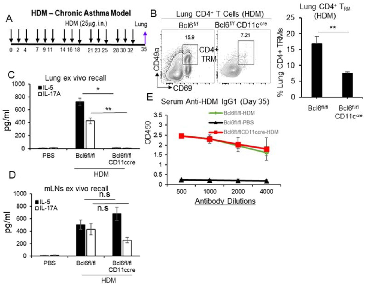 HDM induces CD4 + memory T H cells in mLNs but not in the lungs from Bcl6 fl/fl CD11c cre mice. A . A cartoon of chronic HDM treatment in mice. n=3 mice/group. B . Flow cytometry analysis ( left ) and frequency ( right ) of CD4 + CD69 + CD49a + T RM in HDM-induced Bcl6 fl/fl and Bcl6 fl/fl CD11c cre mice on day 35. (n=3mice/group) Data are representative of three independent experiments. C-D . Lung cells ( C ) or mediastinal lymph nodes (mLNs) ( D ) from HDM treated mice on day 35 from ( A ) were stimulated with 25μg/ml HDM for 4 days in culture. T H 2 and T H 17 cytokines were measured in the supernatant by ELISA. Data are representative of three independent experiments. E . Serum anti-HDM IgG1 were determined in the HDM mice on day 35 from ( A ) by ELISA. Data are representative of three independent experiments. Graphs represent means ± standard error. The significance is determined by one-way ANOVA Tukey's multiple comparison test ( C, D ) or unpaired Student's t test ( B ). *p