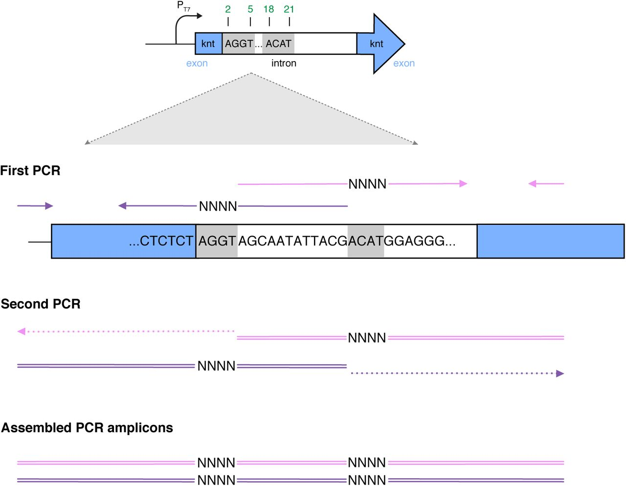 Generation of mutant library using site-saturation mutagenesis via a two-step PCR. Solid arrows denote oligonucleotides. In the first step, two pairs of oligonucleotides containing mixed bases ( https://www.idtdna.com/pages/products/custom-dna-rna/mixed-bases ) are used to amplify two separate fragments (purple and pink) containing one P1ex sub-region each. The 3' end of the purple fragment and the 5' end of the pink fragment share a 12-bp overlapping region, which allow self-annealing and subsequent 3' extension during the second PCR. As a result, the assembled amplicons contain two varying sub-regions. The purple fragment is amplified using primers Frag1-f and Frag1-r, whereas the pink fragment is amplified using primers Frag2-f and Frag2-r ( Table S3 ).