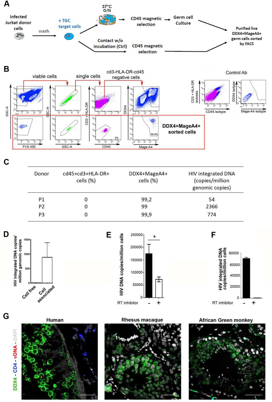 HIV-1 integration in testicular germ cell genome and in vivo detection of HIV and SIV DNA in human and non-human primate testicular germ cells ( A-C ) HIV-1 integration in primary TGCs. ( A ) Experimental design: after overnight contact with Jurkat cells infected with HIV-1 nef -ires-GFP, TGCs were recovered following CD45 magnetic selection and put in culture for 5 days. The cells were then submitted to FACS sorting for live cells, negative for leukocytes markers CD45, CD3 and HLA-DR and positive for germ cell markers DDX4 and MAGEA4. As a negative control, TGCs purified by CD45 magnetic selection immediately after contact with Jurkat cells were sorted by FACS similarly to the overnight incubated samples. ( B ) Gating strategy and representative profile of purified live germ cells. Live single cells were selected based on absence of detection of leukocytes markers CD3, HLA-DR and CD45 and on positive expression of DDX4 and MageA4+ germ cell markers. Control antibodies are shown on bottom panel. ( C ) HIV-1 integrated DNA was measured by Alu-gag PCR on 10,000 sorted TGCs exposed ON to Jurkat cells in 3 independent experiments, and the value obtained for the negative controls subtracted. ( D-F ) HIV integration in Tcam-2. ( D ) HIV-1 integrated DNA was measured on Tcam-2 either cultured for 48h following exposure to R5 JR-CSF HIV-1 (cell-free) or exposed ON to Jurkat infected with HIV R5 JR-CSF , purified by CD45 magnetic selection, cultured for 5 days and FACS sorted for CD45 negative live cells (cell associated). ( E, F ) HIV-1 reverse transcription and integration were assessed on Tcam-2 cells exposed to VSV-G-pseudotyped HIV-1. ( E ) Reverse transcripts were detected after 24h culture with or without reverse transcriptase inhibitor nevirapine (n=6) and ( F ) HIV-1 integration assessed by Alu-gag PCR (n=3). ( G ) In vivo detection of HIV and SIV DNA in human and non-human primate testicular germ cells by DNAscope. Representative pictures of TGC (green) harbouring 