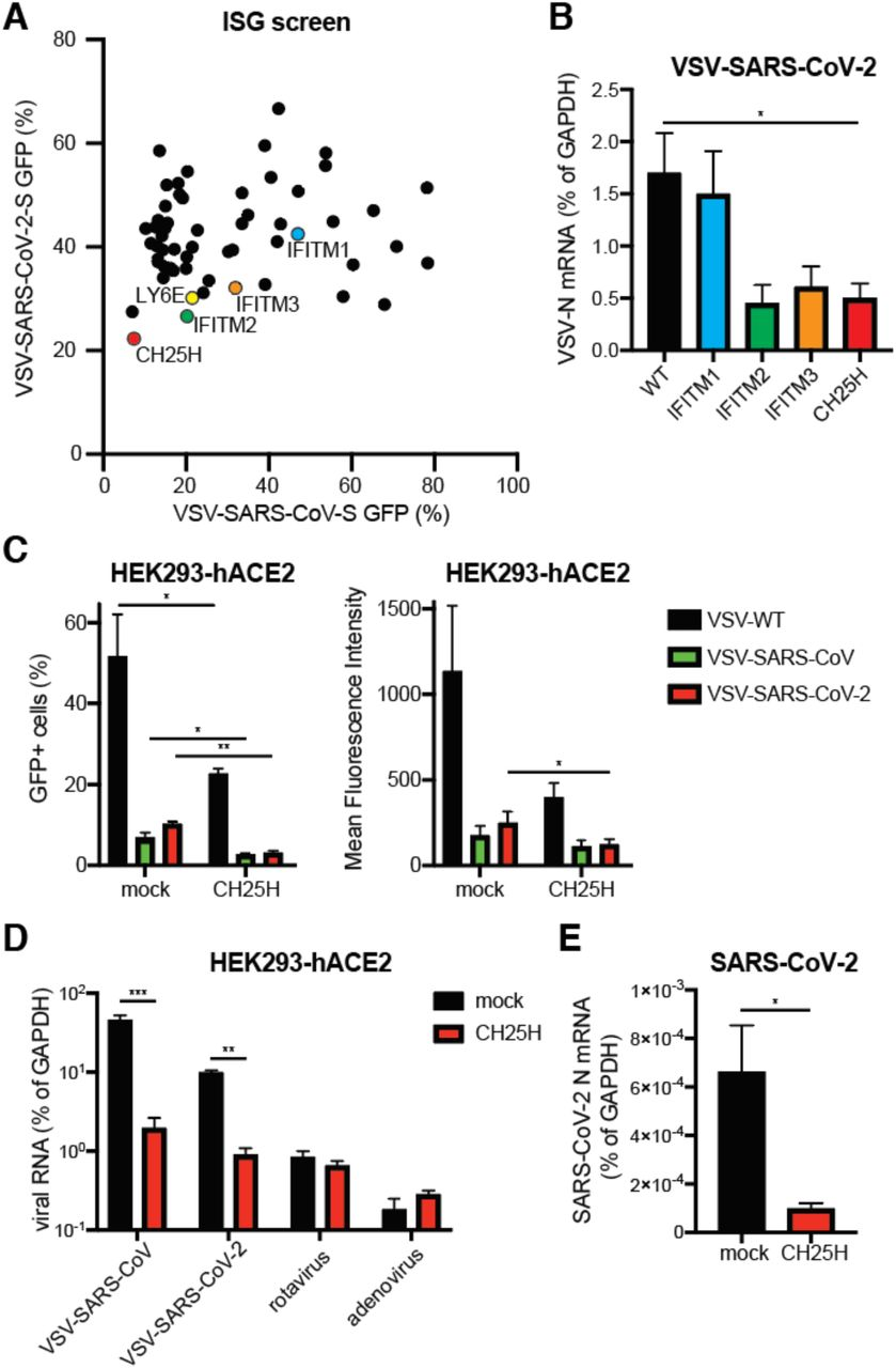 CH25H suppresses VSV-SARS-CoV-2 replication in HEK293-hACE2 cells. (A) HEK293-hACE2-mCherry cells were transfected with plasma membrane (PM)-localized GFP and stained for cell surface (green), ACE2 (red), nucleus (DAPI, blue), and actin (white). Scale bar: 30 µm. (B) Wild-type (WT) HEK293 or HEK293-hACE2-mCherry cells were infected with VSV-SARS-CoV-2 (MOI=1) for 8 hr. Scale bar: 200 µm. (C) Same as (B) except that infection was 24 hr and RNA was harvested for RT-qPCR measuring the mRNA level of VSV N compared to GAPDH expression. (D) Same as (B) except that infection was 24 hr and cell lysates were harvested for plaque assays. (E) HEK293-hACE2 cells stably expressing indicated ISGs were harvested for western blot and probed for V5-tagged ISG and GAPDH protein levels. (F) HEK293-hACE2 cells stably expressing indicated ISGs were infected with VSV-SARS-CoV-2 (MOI=1) for 24 hr. Scale bar: 200 µm. (G) HEK293 cells were transfected with mock, IFIH1, or CH25H plasmids for 24 hr or treated with 25HC (10 µM) for 1 hr. RNA was harvested and the mRNA levels of IFN-β (IFNB) and IFN-λ (IFNL3) were measured by RT-qPCR and normalized to GAPDH expression. For all figures, experiments were repeated at least three times with similar results. Data are represented as mean ± SEM. Statistical significance is from pooled data of the multiple independent experiments (*p≤0.05; **p≤0.01; ***p≤0.001).