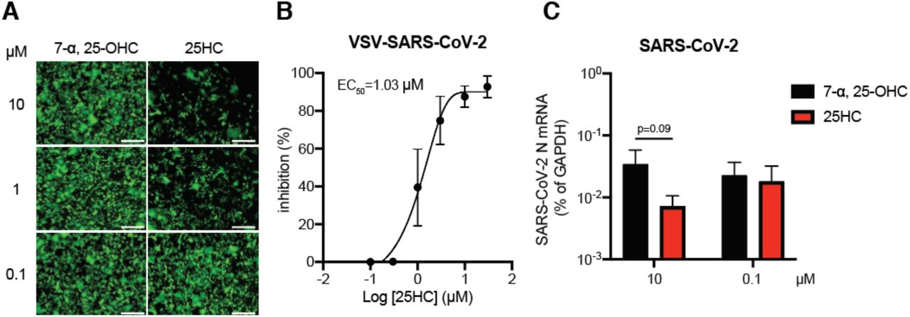 25HC inhibits SARS-CoV-2 replication (A) HEK293-hACE2 cells were treated with 7-α, 25-OHC or 25HC at 0.1, 1, or 10 µM for 1 hr and infected with VSV-SARS-CoV-2 (MOI=5). GFP signals were detected at 24 hpi. Scale bar: 200 µm. (B) MA104 cells were treated with 25HC at indicated concentrations for 1 hr and infected with VSV-SARS-CoV-2 (MOI=0.1) for 24 hr. GFP signals were quantified by ImageJ and plotted as percentage of inhibition. (C) HEK293-hACE2 cells were treated with 7-α, 25-OHC or 25HC at 0.1 or 10 µM for 1 hr and infected with SARS-CoV-2 (MOI=0.5). At 24 hpi, the mRNA level of SARS-CoV-2 N was measured by RT-qPCR and normalized to GAPDH expression. For all figures, experiments were repeated at least three times with similar results. Data are represented as mean ± SEM. Statistical significance is from pooled data of the multiple independent experiments.