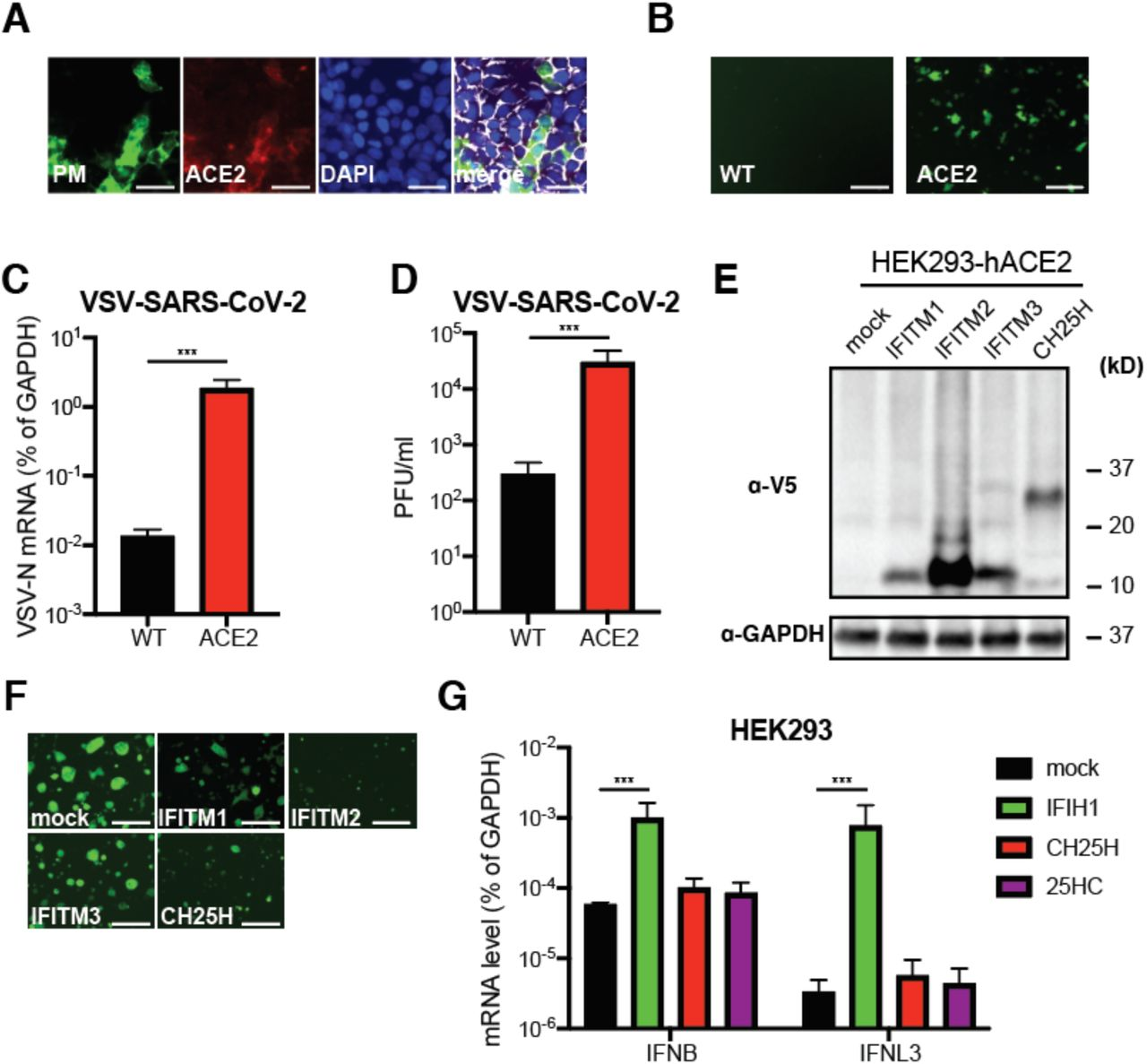 CH25H and 25HC block SARS-CoV-2 S mediated fusion. (A) HEK293-hACE2-TMPRSS2 cells were infected with wild-type VSV, VSV-SARS-CoV or VSV-SARS-CoV-2 (MOI=10) for 6 hr. Cells were harvested and measured for GFP percentage and intensity by flow cytometry. (B) HEK293-hACE2-TMPRSS2 cells expressing GFP and indicated ISGs or treated with 25HC (10 µM) were mixed at 1:1 ratio and co-cultured with HEK293 cells expressing SARS-CoV-2 S and TdTomato for 24 hr. Note the formation of cell-cell fusion (yellow), highlighted by black arrows. Scale bar: 200 µm. (C) HEK293 cells were co-transfected with GFP, VSV G, or reovirus FAST p10, with or without 25HC (10 µM) for 24 hr. The red arrows highlight the syncytia formation. Scale bar: 200 µm. For all figures, experiments were repeated at least three times with similar results. Data are represented as mean ± SEM.