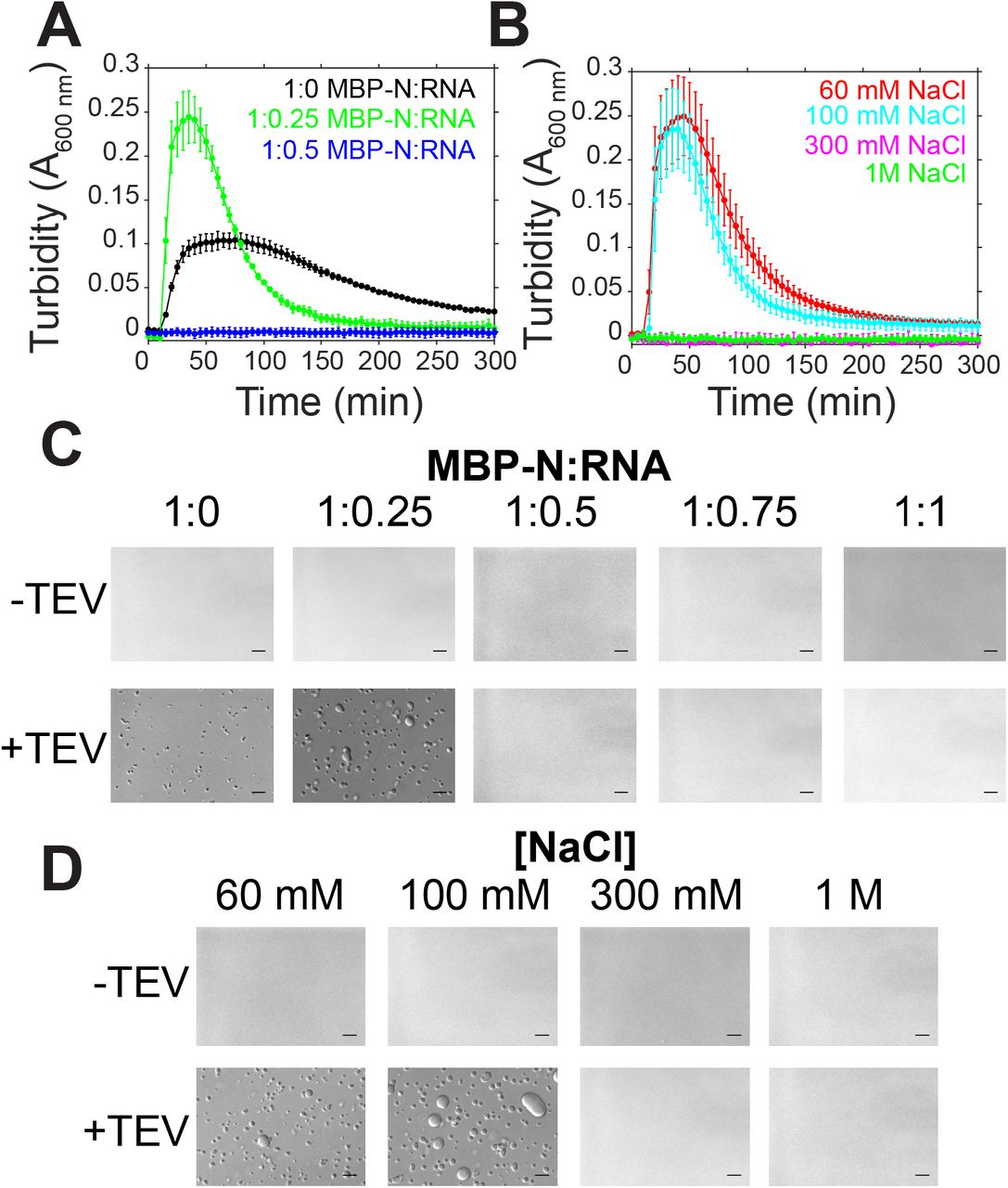 SARS-CoV-2 N LLPS is modulated by salt and RNA. A-B) Phase separation over time as monitored by turbidity of 50 μM MBP-N in 50 mM Tris pH 7.4 after addition of TEV protease with varying torula yeast RNA (at 100 mM sodium chloride) or varying sodium chloride concentrations. C-D) DIC micrographs of 50 μM MBP-N in 50 mM Tris NaCl pH 7.4 with varying torula yeast RNA or sodium chloride concentrations with and without TEV protease (to cleave MBP from N). Scale bars represent 50 μm.