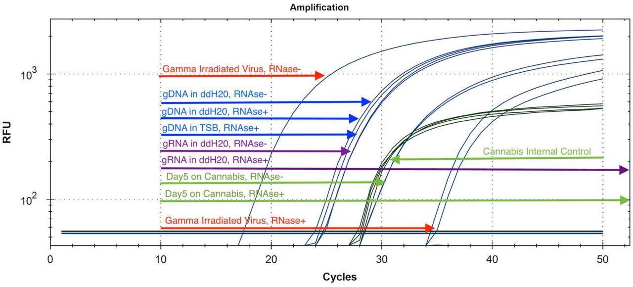 The use of <t>RNase</t> A as a proxy for viable virus versus non-viable virus. RNase should not penetrate the nuclease resistant viral envelope and only digest free circulating RNA. After purification of the RNase digested samples (37°C, 30 minutes), samples are eluted in the qPCR RNase Blocker. Gamma irradiated virus (Red) is less digestable than pure genomic RNA (Purple). Viral gDNA remains resistant to RNase digestion (Blue). Gamma irradiated virus spiked onto cannabis flower is fully digestable (Green) by RNase suggesting non-infectious virus by Day 5 at Room Temperature storage. Non-irradiated virus is expected to last much longer on cannabis.