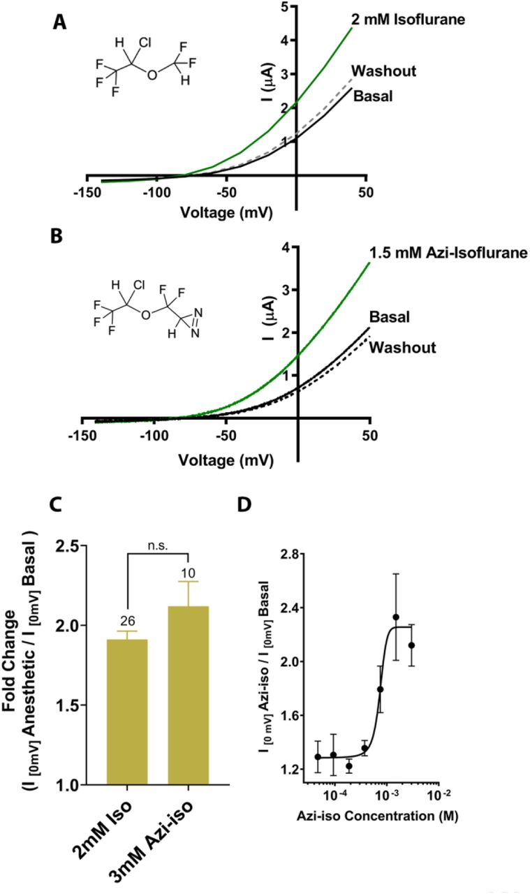 Functional validation of azi-isoflune activity on TREK1 channels. Representative two electrode voltage clamp recordings demonstrate the potentiating effects of saturating doses of isolflurane (A) and azi-isoflurane (B). Chemical structures of isoflurane and azi-isoflurane are shown. (C) Fold effect of administration of either isoflurane or azi-isoflurane on TREK1 outward current, as determined by the ratio of the recorded current at a voltage of 0mV, immediately prior to and following administration of VA agent. No significant difference was found between the responses of TREK1 to isoflurane versus azi-isoflurane, unpaired two tailed t-test P value of 0.11 (D) Dose response curve for azi-isoflurane activation of TREK1. Data derived from n > 6, N > 2 experimental observations. Error bars in panel C and D are mean ± SEM