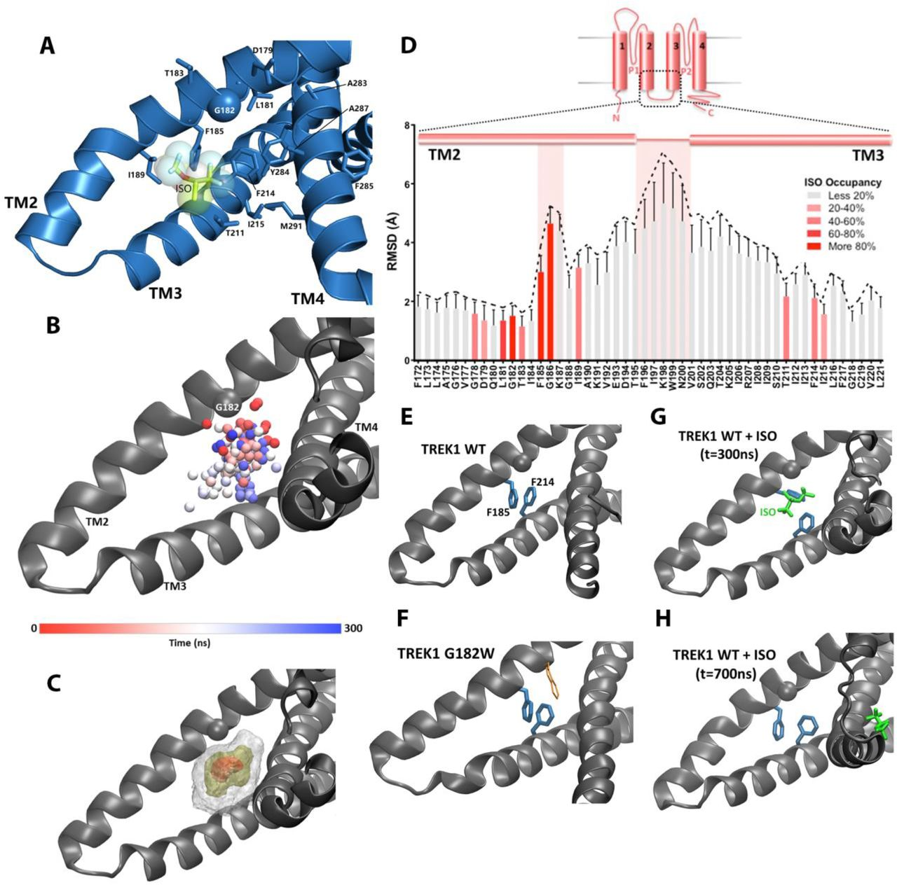 Mass spectrometry analysis of purified human TRAAK. Results of MS analysis of TRAAK in the absence of reaction with Azi-isoflurane (top) or following reaction with 30 μM Azi-isoflurane (bottom). Regions positively identified by mass spectrometry analysis are shown in blue in the TRAAK structural model (PDB ID 4WFE) and in black font in the sequence data. Regions absent from MS data are displayed in matching color in both the structural model and the sequence data. TRAAK residues homologous to TREK1 positions that exhibit high isoflurane occupancy in MD simulation are displayed as spheres in the structural model of TRAAK and are denoted in the sequence data by an enlarged font. All of these residues are identified by MS, but none show evidence of Azi-isoflurane labeling. A group of residues in the C-terminal region of TRAAK (marked in grey in the sequence data) were absent from our MS analysis but are not present in the TRAAK structural model.