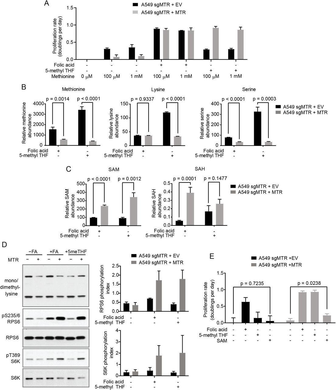MTR knockout reduces SAM levels but not methionine levels. (A) Proliferation rates of A549 cells without (+EV) or with MTR expression (+MTR) cultured in the indicated folate with or without the addition of 1 mM methionine to supplement the 100 μM methionine present in <t>RPMI-1640</t> culture media. (B) LC/MS measurement of intracellular methionine, lysine, and serine levels in A549 cells without (+EV) or with MTR expression (+MTR) cultured for 4 days in the indicated folate. Data are normalized to the total protein content of cells in each condition and to an internal standard. (C) LC/MS measurement of intracellular SAM and SAH levels in A549 cells without (+EV) or with MTR expression (+MTR) cultured for 4 days in the indicated folate. Data are normalized to the total protein content of cells in each condition and to an internal standard. (D) Western blots to assess levels of mono- or dimethyl lysine-containing proteins, RPS6 phosphorylated at S235/6, total RPS6, S6K phosphorylated at T389, and total S6K in A549 cells without (+EV) or with MTR expression (+MTR). Phosphorylation index is defined as the phosphorylated protein antibody signal divided by the same total protein antibody signal in each lane. (E) Proliferation rates of A549 cells without (+EV) or with MTR expression (+MTR) cultured in the indicated folate with or without the addition of 1 mM SAM. Mean +/- SD is displayed for all panels. p values indicated on all panels are derived from two-tailed, unpaired Welch's t tests.