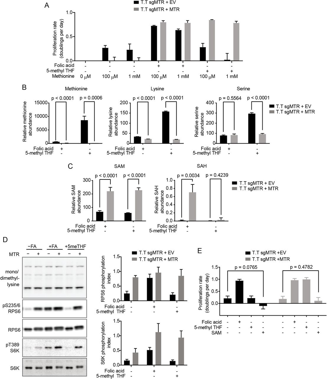 MTR expression affects SAM but not methionine metabolism in T.T cells. (A) Proliferation rates of T.T cells without (+EV) or with MTR expression (+MTR) cultured in the indicated folate with or without the addition of 1 mM methionine to supplement the 100 μM methionine present in RPMI-1640 culture media. (B) LC/MS measurement of intracellular methionine, lysine, and serine levels in T.T cells without (+EV) or with MTR expression (+MTR) cultured for 4 days in the indicated folate. (C) LC/MS measurement of intracellular SAM and SAH levels in T.T cells without (+EV) or with MTR expression (+MTR) cultured for 4 days in the indicated folate. (D) Western blots to assess levels of mono- or dimethyl lysine-containing proteins, RPS6 phosphorylated at S235/6, total RPS6, S6K phosphorylated at T389, and total S6K in T.T cells without (+EV) or with MTR expression (+MTR). Phosphorylation index is defined as the phosphorylated protein antibody signal divided by the same total protein antibody signal in each lane. (E) Proliferation rates of T.T cells without (+EV) or with MTR expression (+MTR) cultured in the indicated folate with or without the addition of 1 mM SAM. Mean +/- SD is displayed for all panels. p values indicated on all panels are derived from two-tailed, unpaired Welch's t tests. For LC/MS measurements, data are normalized to the total protein content of cells in each condition and to an internal standard.