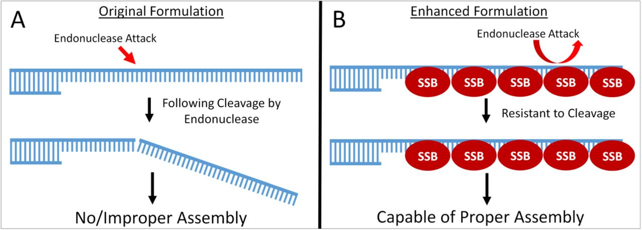 Schematic of Potential Mechanism of SSB A – A depiction of the activity of T5 exonuclease's ssDNA endonuclease activity on ssDNA ends created in a Gibson Assembly Reaction. B – A depiction of SSB's ability to protect ssDNA ends created in a Gibson Assembly Reaction from endonuclease attack.