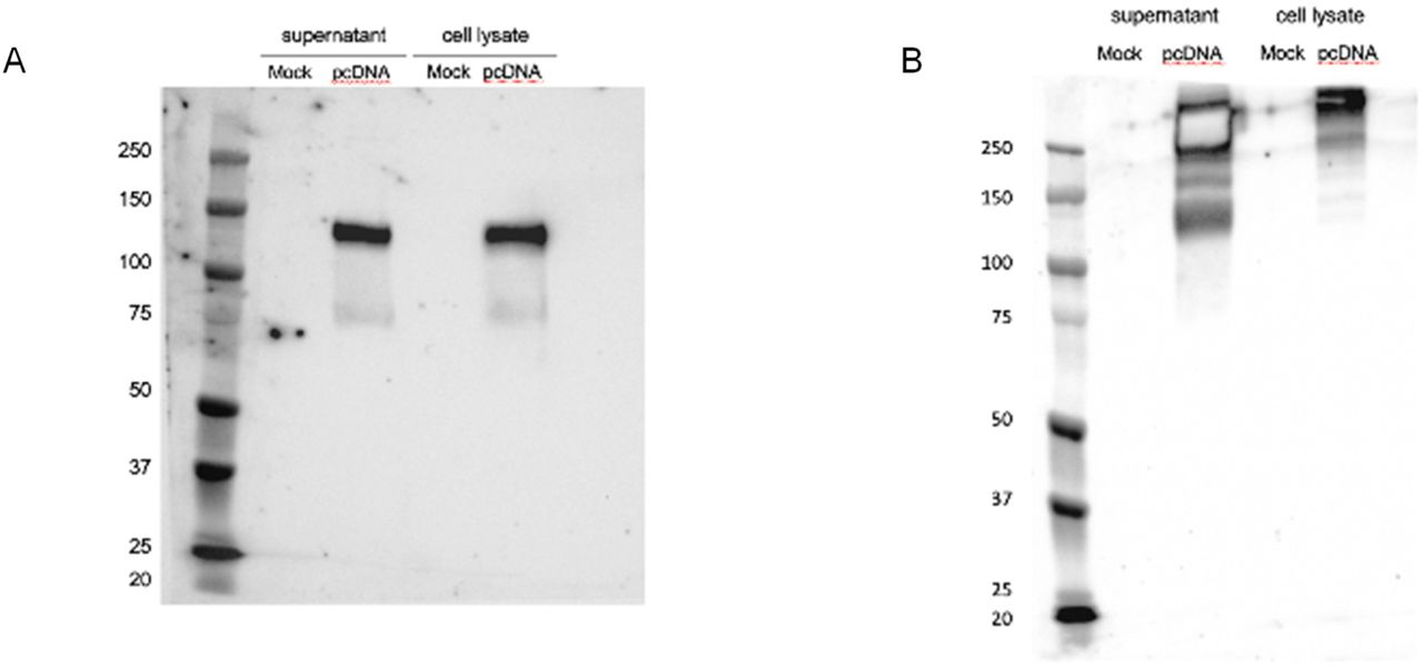 (A) Western blotting under reducing condition with 2.5% <t>2-mercaptoethanol</t> of hACE2 expression in cell supernatants of transfected cells as well as cell lysates. (B) Western blotting of hACE2-IgG1 without reducing conditions.