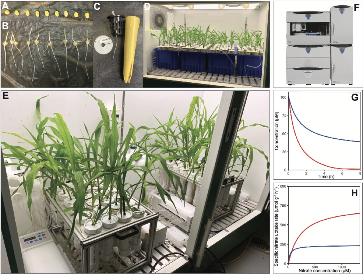 RhizoFlux platform for phenotyping of multiple ion uptake kinetics in plants. (A) Maize seeds are surface sterilized and germinated on germination paper rolls. (B) Evenly germinated seedlings are transferred to (C) seedling cones and grown in (D) aerated hydroponics for 14 days. (E) Plants are transferred to a custom ion uptake setup consisting of 24 hydroponic chambers connected to two <t>24-channel</t> peristaltic pumps for simultaneous solution loading, aeration, and sampling onto a collection plate. (F) Ion concentrations of collected nutrient samples are determined using ion chromatography (G) for quantifying ion depletion across time and (H) used to calculate net specific ion uptake rates on a root length or mass basis.