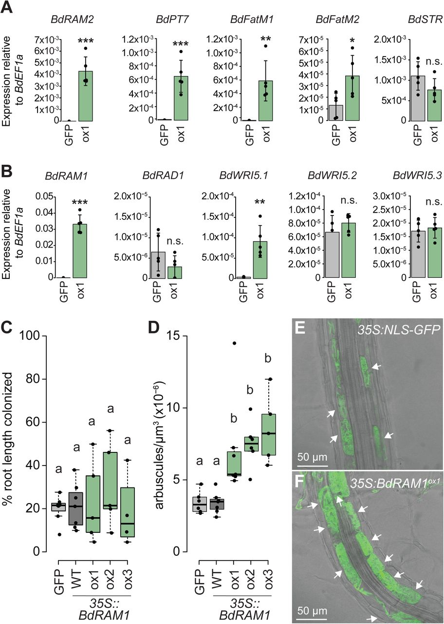 """Ectopic overexpression of BdRAM1 promotes arbuscule formation and expression of AM marker genes. A) Gene expression levels of B. distachyon orthologs of BdRAM1 target genes in non-colonized 35S:NLS-GFP (denoted as """"GFP"""") and 35S:BdRAM1 ox line #1 (denoted as """"ox1"""") roots. 35S:BdRAM1 ox roots display induced expression of BdRAM1 , as well as BdRAM2, BdPT7, BdFatM1 , and BdFatM2 in the absence of symbiosis relative to 35S:NLS-GFP control roots. BdSTR gene expression is not affected in these roots. B) Gene expression of B. distachyon RAD1 and WRI5 orthologs. Only expression of BdWRI5 . 1 is induced in non-colonized roots over-expressing BdRAM1 ( 35S:BdRAM1 ox ) relative to 35S:NLS-GFP control roots. A), B), Bar graphs show the mean, error bars the standard deviation. Single points represent individual measurements. Pairwise comparisons were estimated using the Student's t-test. Significance codes: ***p"""