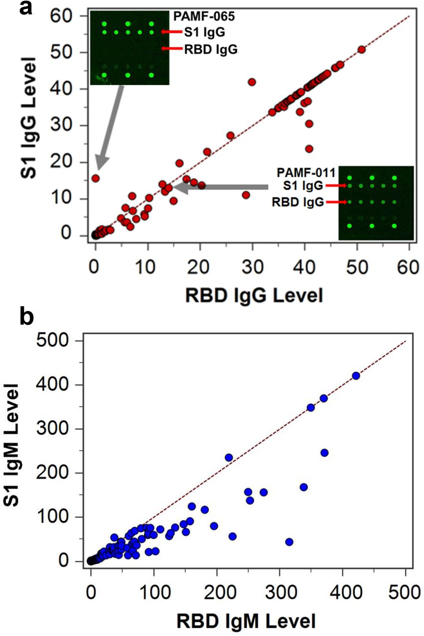 Correlation of antibodies against two SARS-CoV-2 antigens. (a) Correlation plot of anti-S1 IgG level (y-axis) and anti-RBD IgG level (x-axis) measured in PCR-confirmed COVID-19 patient sera. The dashed line was drawn to have a slope of 1. The upper left inset shows the scanned image of the IgG-only channel in a patient serum labeled as PAMF-065, which displayed high signal on the S1 antigen but not on the RBD antigen. The lower right inset shows the scanned image of IgG levels of a sample labeled as PAMF-011, displaying about equal IgG signals against S1 and RBD. (b) Correlation plot of anti-S1 IgM level (y-axis) and anti-RBD IgM level (x-axis) measured in COVID-19 patient sera. The dashed line was drawn to have a slope of 1.