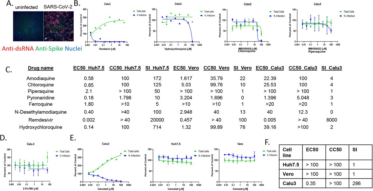 Cell type specific dependencies of entry inhibitors. A. The human lung epithelial Calu-3 cells were infected with SARS-CoV-2 (MOI=0.5) and 48 hpi processed for microscopy. B. Dose response analysis of Calu-3 cells treated with quinolines or remdesvir. C. IC50, CC50 and SI for Vero, Huh7.5 and Calu-3 cells treated with a panel of quinolines or remdesivir. D. Dose response analysis of Calu-3 cells treated with cathepsin inhibitor Z-FA-FMK. E. Dose response analysis of Calu-3, Vero and Huh7.5 cells treated with camostat. F. IC50, CC50 and SI for camostat across cell types.