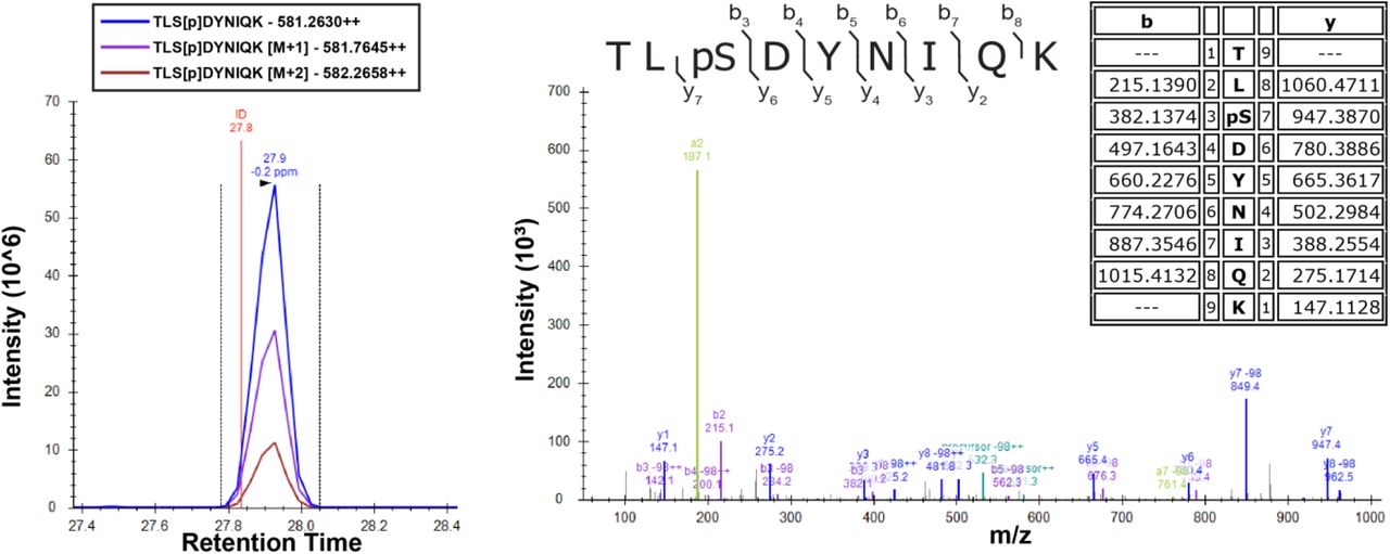 Overexpression of Sks1 in yeast cells increases Ser57 phosphorylation of ubiquitin. Cells were grown in SILAC media supplemented with light or heavy lysine and arginine. Chromosomally expressed 3xFLAG-tagged ubiquitin (from the RPS31 and RPL40B loci) was isolated by affinity purification and digested with trypsin. <t>Phosphopeptides</t> were enriched by immobilized metal affinity chromatography <t>(IMAC),</t> separated by a capillary reverse phase analytical column, and analyzed on a Q Exactive mass spectrometer. Theoretical masses of b/y ions are tabulated and MS-observed masses are shown in the spectra.