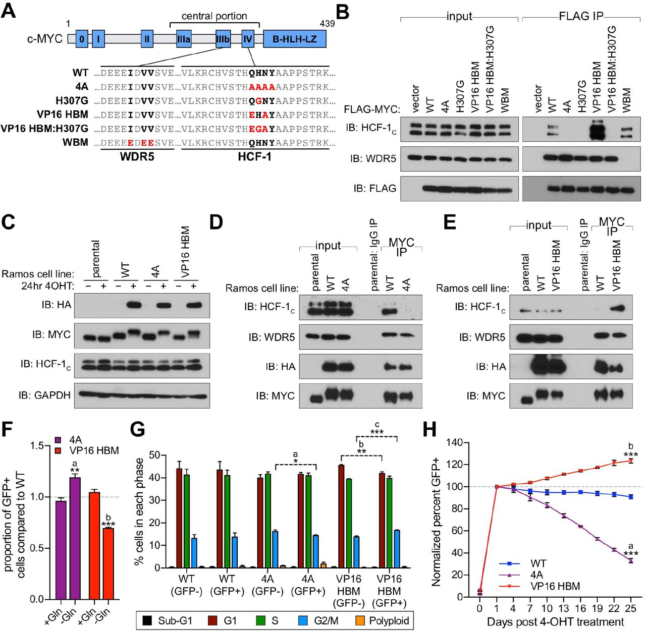 Validation of switchable Ramos cell lines to study the MYC–HCF-1 interaction. ( A ) In vitro transcribed/translated T7-tagged HCF-1 VIC was incubated with recombinant FLAG-tagged c-MYC, either WT or mutant (4A or VP16 HBM), and immunoprecipitation (IP) performed using anti-FLAG M2 agarose. Western blot of the input lysate, and the IP eluate, was performed using antibodies against the T7 and FLAG tags. ( B ) The translocated MYC locus from Ramos cells is depicted at top, with chromosome 14 (red) and 8 (blue) elements indicated. Beneath is a representation of the locus modification, in either the unswitched (middle) or switched (bottom) states. This switchable allele contains a wild-type (WT) exon 3, a P2A-linked puromycin cassette, and a SV40 polyadenylation (SV40 PA) signal, all of which are flanked by LoxP sites (black triangles). Downstream of the LoxP-flanked region is an HA-tagged mutant exon 3 (mut-Ex3) and a P2A-linked GFP cassette. Activation of CRE-ER T2 results in excision of WT exon 3 and its replacement with mutant exon 3 which carries sequences encoding either WT or mutant (4A or VP16 HBM) MYC protein. ( C ) Comparison of the structure of the parental (non-modified) MYC allele (top) compared to the switchable MYC allele (bottom). XbaI sites used for digestion of genomic DNA in Southern blot are highlighted, as are the complementary sites for the MYC and GFP probes. The expected products of XbaI digestion for the parental line are 6,784 bp for the MYC probe (which detects both the translocated and non-translocated alleles) and nothing for the GFP probe; for correctly-engineered lines the expected sizes are 6,784 bp and 2,942 bp for the MYC probe, and 6,624 bp for the GFP probe. ( D ) Southern blot using GFP and MYC probes on XbaI-digested gDNA from unswitched parental or switchable cells (WT, 4A, and VP16 HBM), with digested positive and negative control plasmids. ( E ) Switchable cells were treated with or without 20 nM 4-OHT (24 hours), fixed using 1% f