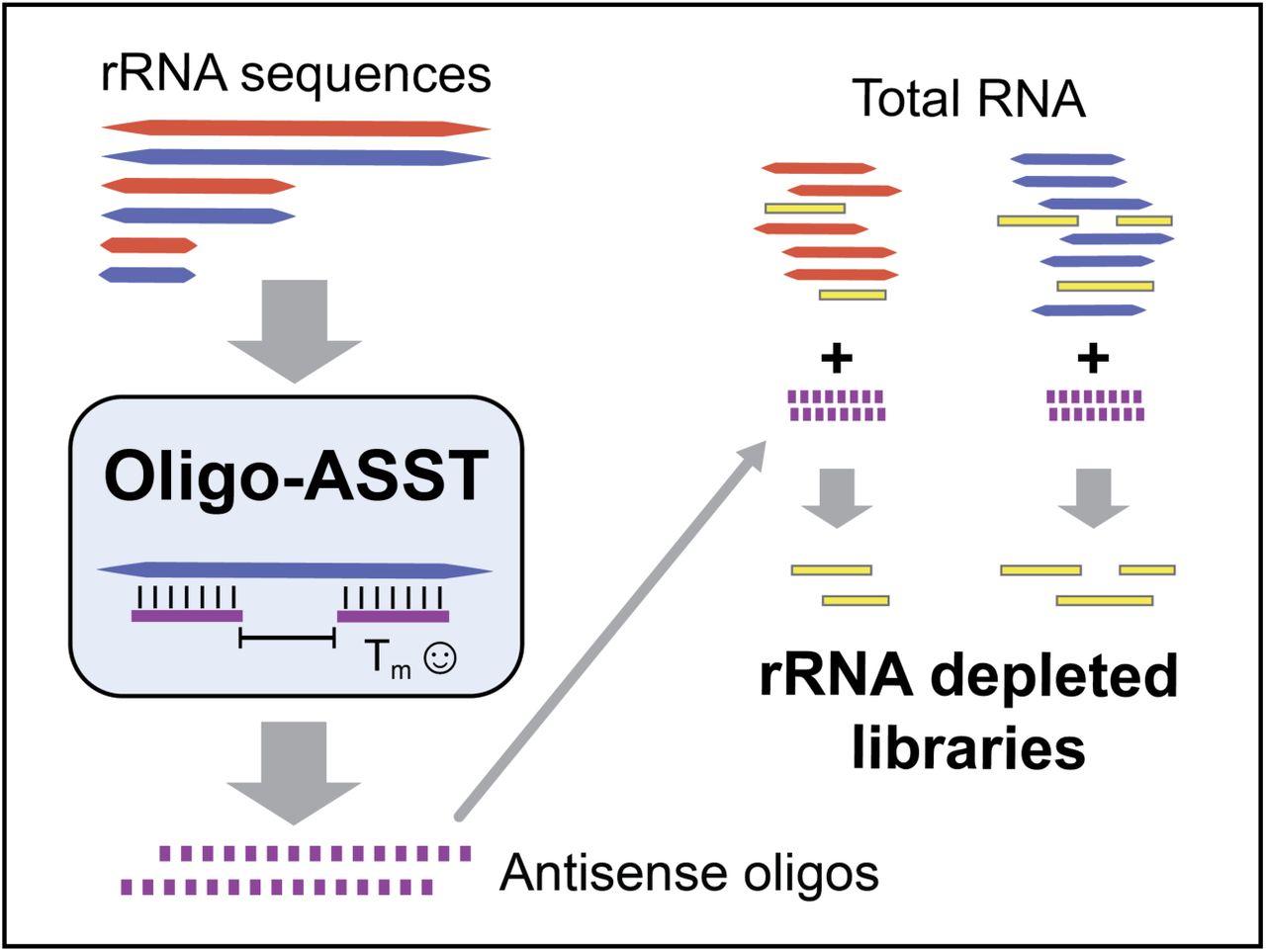 Optimized Design Of Antisense Oligomers For Targeted Rrna Depletion Biorxiv