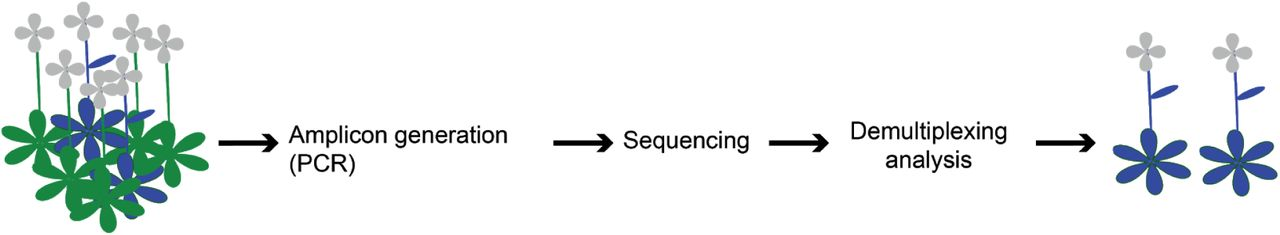 Schematic representation of the screening pipeline. Starting from hundreds of samples the amplicon generation takes place by preparing the individuals for sequencing. By the end of the sequencing run the demultiplexing and analysis can take place that can lead to the identification of the desired edited individuals.