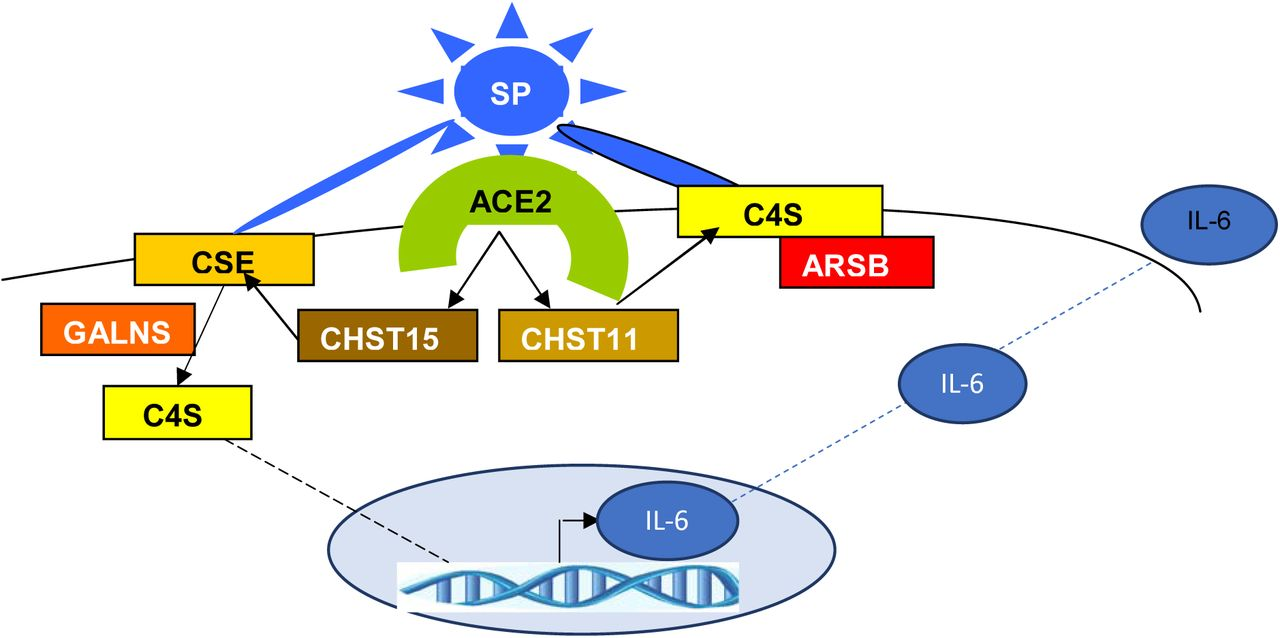 Schematic of Overall Pathway The overall pathway indicates that transcriptional events arise following the stimulation of the ACE2 receptor, leading to increased expression of CHST11 and CHST15. The increased sulfotransferase expression, attributable either to AngII or to spike protein receptor binding, leads to increased production of C4S and CSE. Accumulation of these sulfated glycosaminoglycans causes decline in oxygenation, leading to decline in ARSB activity, and the further accumulation of C4S and CSE and expression of IL-6, and increasing respiratory insufficiency and cytokine storm.