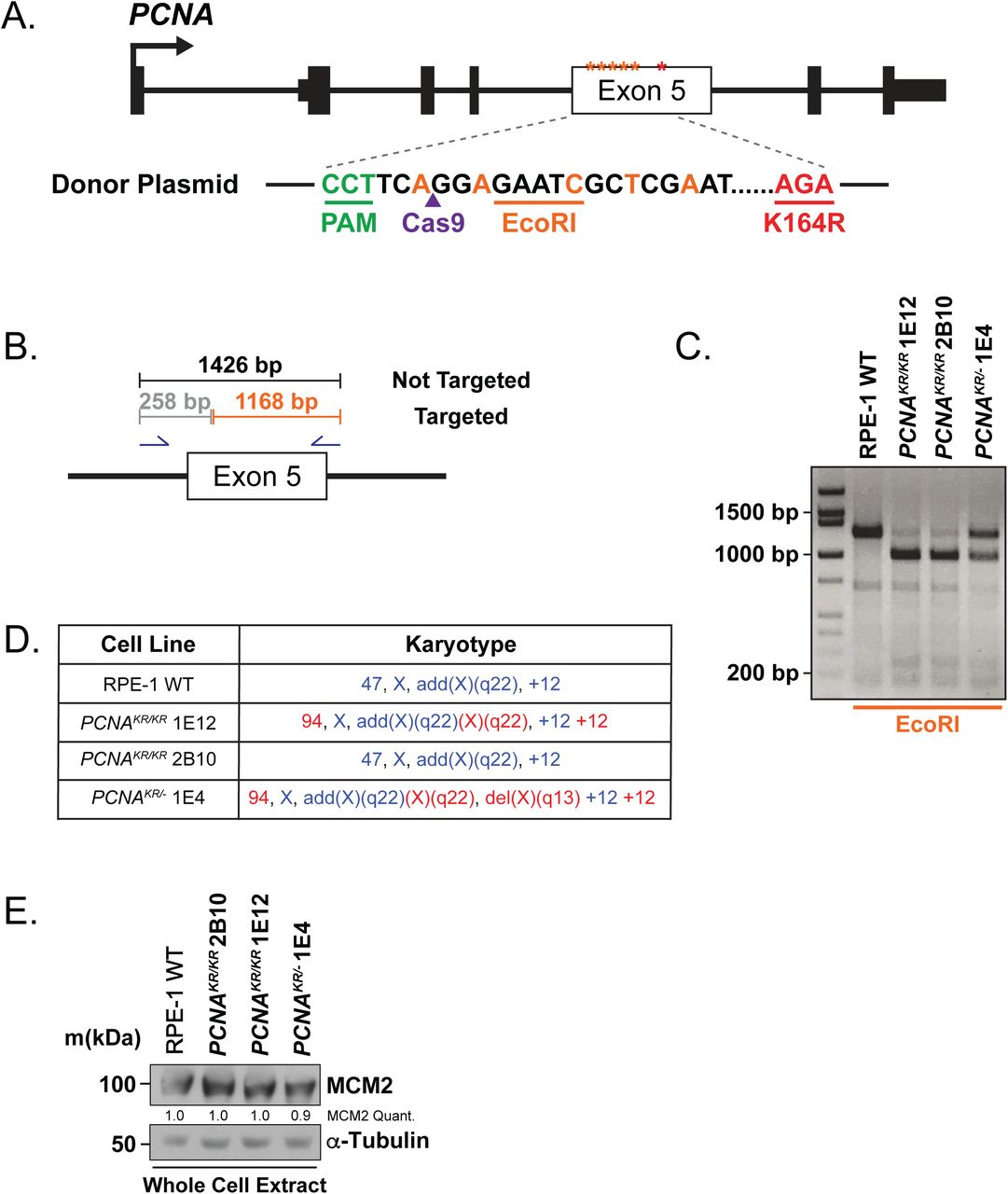 Generation of a PCNA K164R mutant cell line in RPE-1 using CRISPR/Cas9 A) Schematic of the human PCNA indicating that exon 5 was targeted by CRISPR-Cas9. The K164R mutation was knocked-in utilizing a donor plasmid. B) Schematic of screening PCR and expected PCR product sizes after EcoRI restriction enzyme digestion. C) Representative genotyping PCR. Not targeted (wildtype; 1426 bp), monoallelic knock-in (KIN) ( PCNA KR/- 1E4; 1426 bp, 1168 bp, 258 bp), and biallelic KIN ( PCNA KR/KR 1E12, 2B10; 1168bp, 258 bp). D) Karyotyping analysis from RPE-1 wildtype, PCNA KR/KR (1E12, 2B10) and PCNA KR/- (1E4) cell lines. Blue indicates expec ted RPE-1 karyotype. Red indicates chromosomal abnormalities. E) Western blot analyses of whole cell extracts from wildtype RPE-1, PCNA K164R , and RAD18 -/- cells for MCM2 with α-Tubulin as the loading control. Quantification of MCM2 levels normalized to loading control.