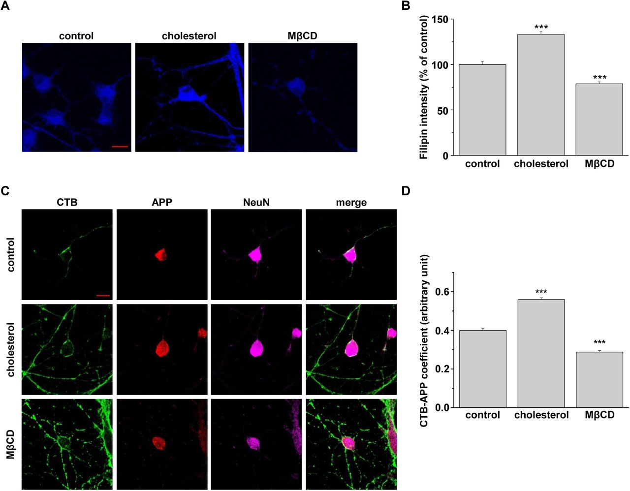 Cellular cholesterol levels determined the localization of endogenous APP in lipid raft microdomains from rat primary hippocampal neurons. A. Rat primary hippocampal neurons (DIV21-DIV23) were incubated with either 1.5 mM MβCD-cholesterol or 2 mM MβCD. Then, cells were incubated with filipin to stain free cholesterol levels. Representative confocal image are shown. Data are representative of three independent experiments. Scare bars correspond to 10 μm. B. Filipin fluorescent intensities (n=3). C. Hippocampal neurons were treated with MβCD-cholesterol or MβCD, followed by incubation with APP antibody and cholera toxin B (CTB) at 4°C. After fixing and permeabilization, neurons were incubated with NeuN antibody to detect neurons. Confocal image from four independent experiments is shown. Scare bars correspond to 10 μm. D. Co-efficiency of APP and CTB was analyzed with Image J (n=4). Statistical analysis was performed by one-way ANOVA: ***p