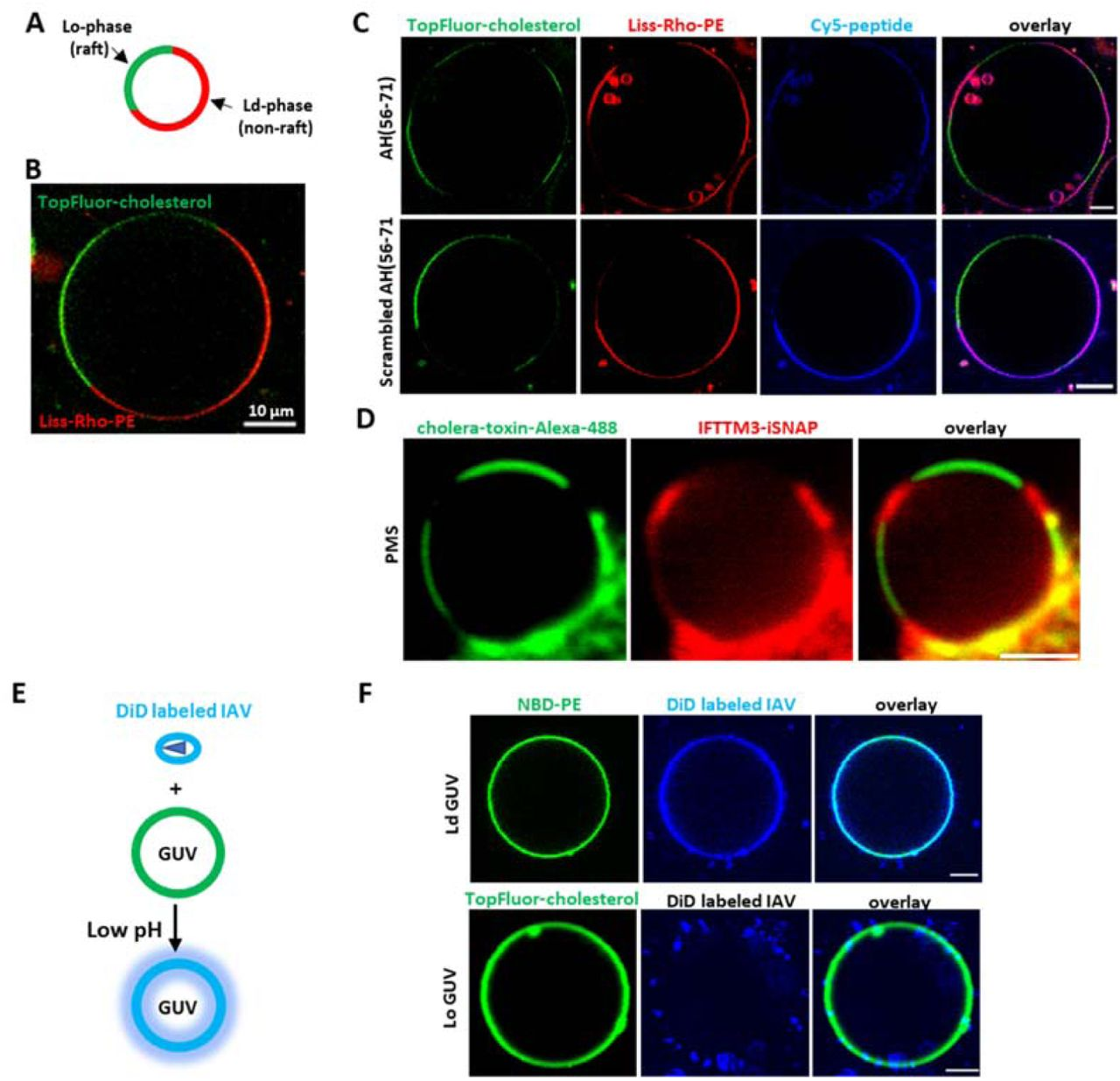 IFITM3 partitions into liquid-disordered membrane domains that support IAV fusion. (A) A diagram of phase-separated GUV. (B) A representative example of phase-separated GUV containing 33.3 mol % DOPC, 33.3 mol % SM, 32.4 mol % cholesterol, 0.5 mol % TopFluor-cholesterol (marker of Lo domain) and 0.5% Liss-Rho-PE (marker of Ld domain). (C) Phase-separated GUVs (33.3 mol % DOPC, 33.3 mol % SM, 32.4 mol % cholesterol, 0.5 mol % TopFluor-cholesterol and 0.5% Liss-Rho-PE) were incubated with 10 μM of Cy-5-labeled AH (56-71) or Scrambled AH(56-71) for 30 min and imaged. Scale bars 10 μm. (D) Plasma membrane spheres were prepared from IFITM3-iSNAP expressing A549 cells by cell swelling. GM1 was crosslinked with Cholera toxin B-AF488 (green) to mark the Lo phase and SNAP tag was stained with SNAP-cell 647-SIR (red). Scale bar 2 μm. (E) A diagram depicting lipid mixing between DiD-labeled IAV and GUV triggered by low pH leading to DiD dequenching. (F) Ld GUVs (top, 97.5 mol % DOPC, 2% GM1, 0.5% NBD-PE) or Lo GUVs (bottom, 66.6 mol % SM, 30.9 mol % cholesterol, 2% GM1, 0.5 mol % TopFluor-cholesterol) were mixed with DiD labeled IAV, lipids mixing was triggered by addition of citrate buffer to achieve the final pH of 5.0, and samples immediately imaged. Scale bars 5 μm. See also Figure S4.