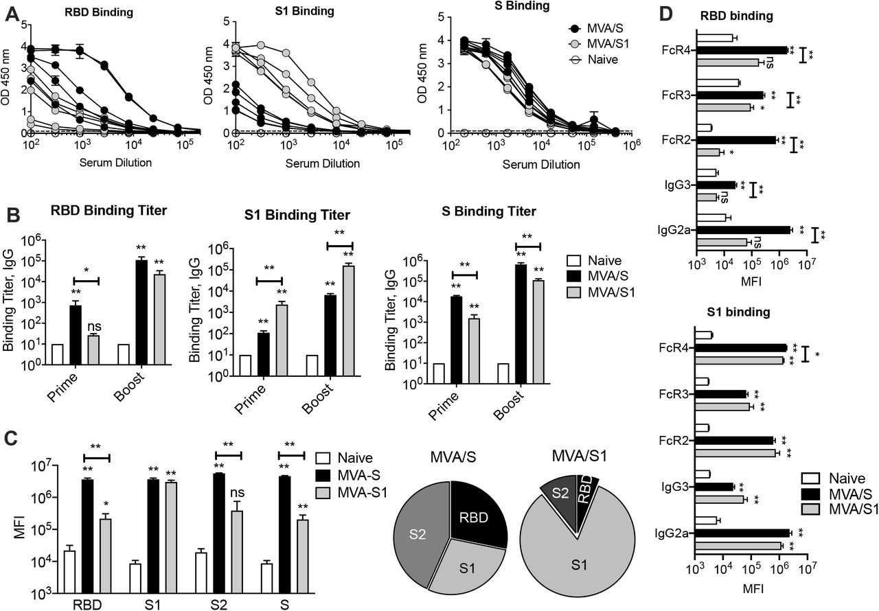 Antibody responses induced by MVA/S or MVA/S1 in mice. BALB/c mice were immunized on week 0 and 3 with recombinant MVAs expressing either S (MVA/S) (n=5) or S1 (MVA/S1) (n=5) in a prime-boost strategy. Unvaccinated (naïve) animals served as controls (n=5). (A) Binding IgG antibody response for individual proteins measured using ELISA at two weeks after boost. (B) Endpoint IgG titers against SARS-CoV-2 RBD, S1 and S measured at week 2 after immunization. The data show mean response in each group (n = 5) ± SEM. (C) Binding antibody response determined using Luminex assay at 3 weeks post boost. The pie graphs show the relative proportions of binding to three proteins in each group. (D) IgG subclass and soluble Fc receptor binding analysis of RBD and S1 specific IgG measured using the Luminex assay. Raw values are presented as in mean fluorescence intensity (MFI) in bar graph. The data represent mean responses in each group (n = 5) ± SEM.