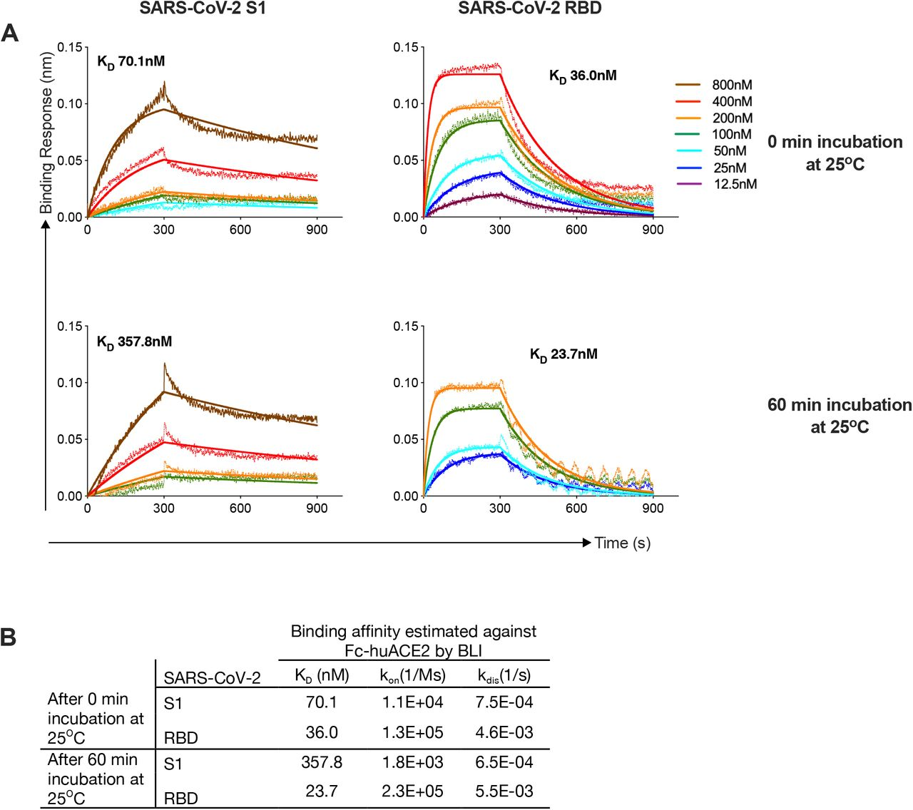 Analyzing SARS-CoV-2 RBD and S1 proteins affinities to human ACE2 (hACE2) proteins using biolayer interferometry (BLI). (A) Bio-Layer Interferometry sensograms of the binding of SARS-CoV-2 S1 and RBD proteins to immobilized Fc-human ACE2, after incubation of the analytes at 25°C for 0and 60 minutes. The traces represent BLI response curves for SARS-CoV-2 proteins serially diluted from 800nM to 12.5nM, as indicated. Dotted lines show raw response values, while bold solid lines show the fitted trace. Association and dissociation phases were monitored for 300s and 600s, respectively. The data was globally fit using a 1:1 binding model to estimate binding affinity. (B) Binding affinity specifications of S1 and RBD proteins against hu-ACE2.