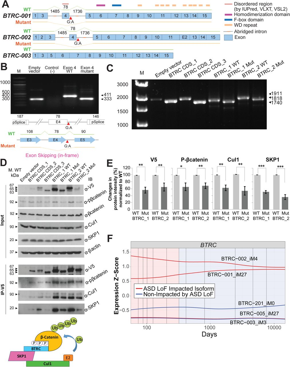 The de novo autism splice site mutation causes exon skipping in BTRC isoforms and reduces their translational efficiency. (A) The exon structure of three splicing isoforms of the BTRC gene showing positions of the cloned abridged introns and the splice site mutation; numbers denote base pairs (bp). (B) Minigene assays demonstrate exon 4 skipping as a result of the splice site mutation. The assays show the RT-PCR results performed using total RNA from HeLa cells transfected with BTRC minigene constructs; numbers denote base pairs. (C) Splicing assays with the full-length constructs carrying abridged introns confirm exon skipping observed in the minigene assays. (D) Immunoblotting (IB) from the whole cell lysates of HeLa cells transfected with different BTRC minigene constructs and an empty vector, as indicated. Membranes were probed to observe BTRC overexpression, and to investigate expression of p-β-catenin, Cul1 and SKP1. β-actin was used as loading control. <t>Immunoprecipitation</t> was performed with the antibody recognizing V5-tag and proteins were detected by immunoblotting (IB) with the p-β-catenin, Cul1, SKP1 and V5 antibodies. The splice site mutation causes reduced translational efficiency of both BTRC_1Mut and BTRC_2Mut mutant isoforms as compared to their wild type counterparts. Schematic diagram of Skp1-Cul1-BTRC ubiquitin protein ligase complex is shown at the bottom. (E) Quantification of protein pull-downs with V5-IP using ImageJ software. The band intensity values were normalized to WT expression levels. Error bars represent 95% confidence intervals (CI) based on 3 independent experiments. On average, 40% reduction of BTRC protein expression is observed as a result of a mutation. Consequently, the reduction of the corresponding BTRC binding partners (p-β-catenin, Cul1, and SKP1) is also observed. (F) Expression profiles of brain-expressed BTRC isoforms show higher expression of ASD-impacted BTRC-001 and BTRC-002. Numbers denote base pairs (a, b, c p