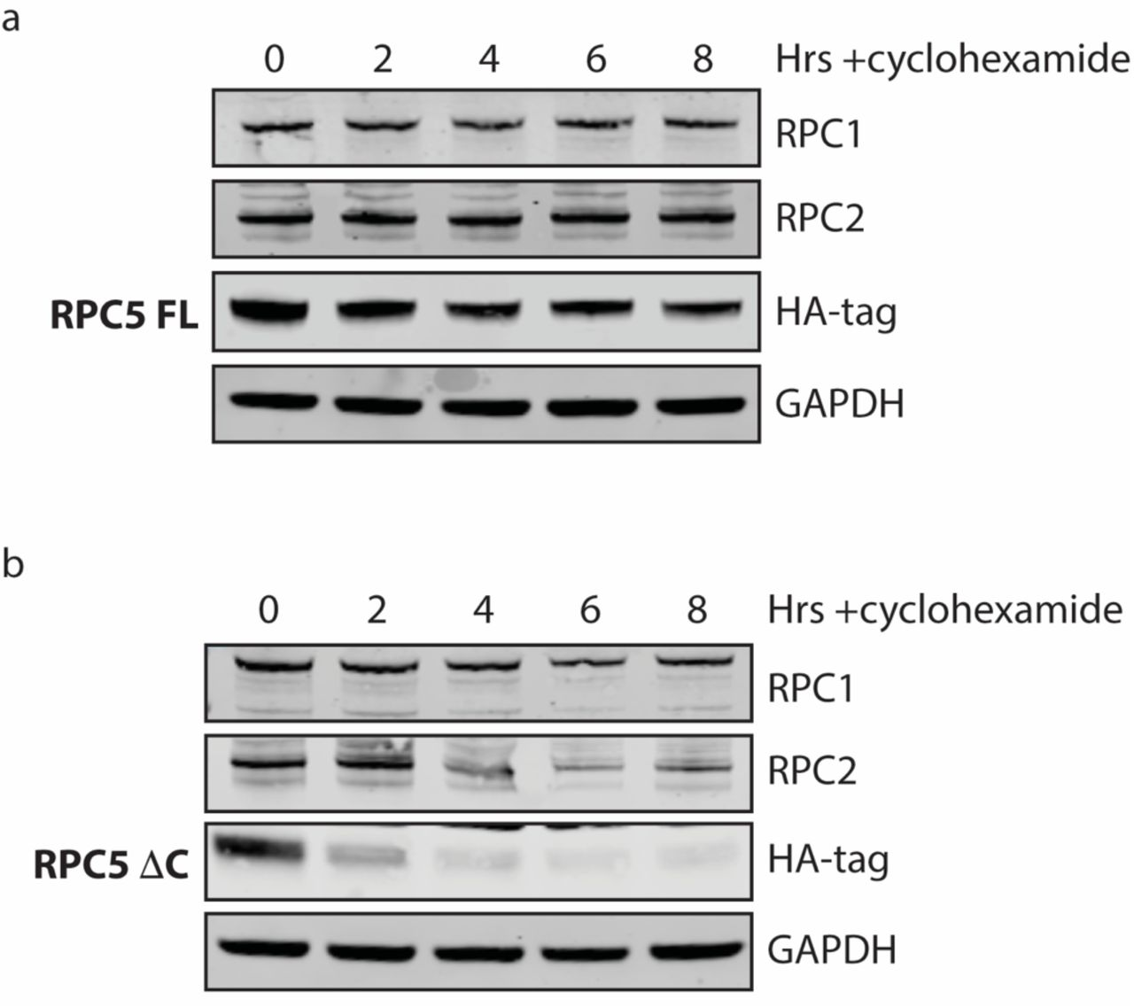 Cycloheximide chase assay investigation of RPC5 protein stability. HEK293T cells were seeded, endogenous RPC5 was knocked down via siRNA and either the FL ( a ) or ΔC ( b ) RPC5 constructs were transfected. After 24 hours, cycloheximide was added in at a concentration of 300 µ g/ml and cells lysed at the specified time points. RPC1, 2 and 5 (as shown via HA-tag antibody) levels were probed by western blot.