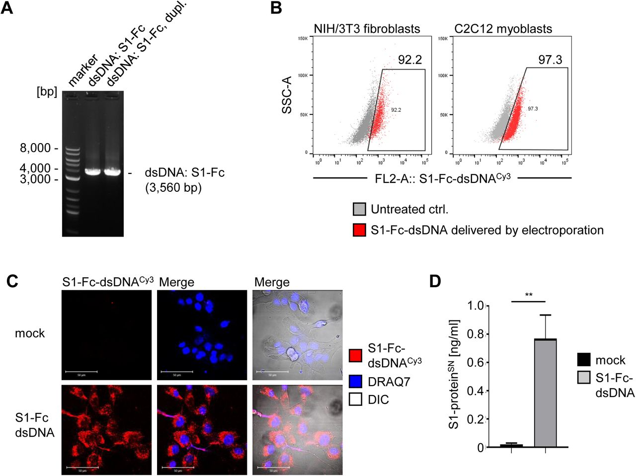 Production and secretion of S1-Fc-protein antigen by muscle cells. ( A ) Linear dsDNA encoding S1-Fc was generated by PCR-based amplification and subjected to analytical DNA gel electrophoresis, assessing accurate size and excluding undesired intermediate product. ( B ) Cellular internalization of fluorescently labeled dsDNA encoding S1-Fc was assessed by flow cytometry immediately after electroporation procedure, gating on dsDNA encoding S1-Fc + cells (red). ( C ) Cellular internalization of S1-Fc-dsDNA was validated by confocal microscopy. Scale, 50 μm. ( D ) Produced S1-Fc protein secreted by C2C12 muscle cells within 96 h after electroporation was assessed from collected cell supernatant and analyzed by MSD assay. SD shown. T-test: **) P