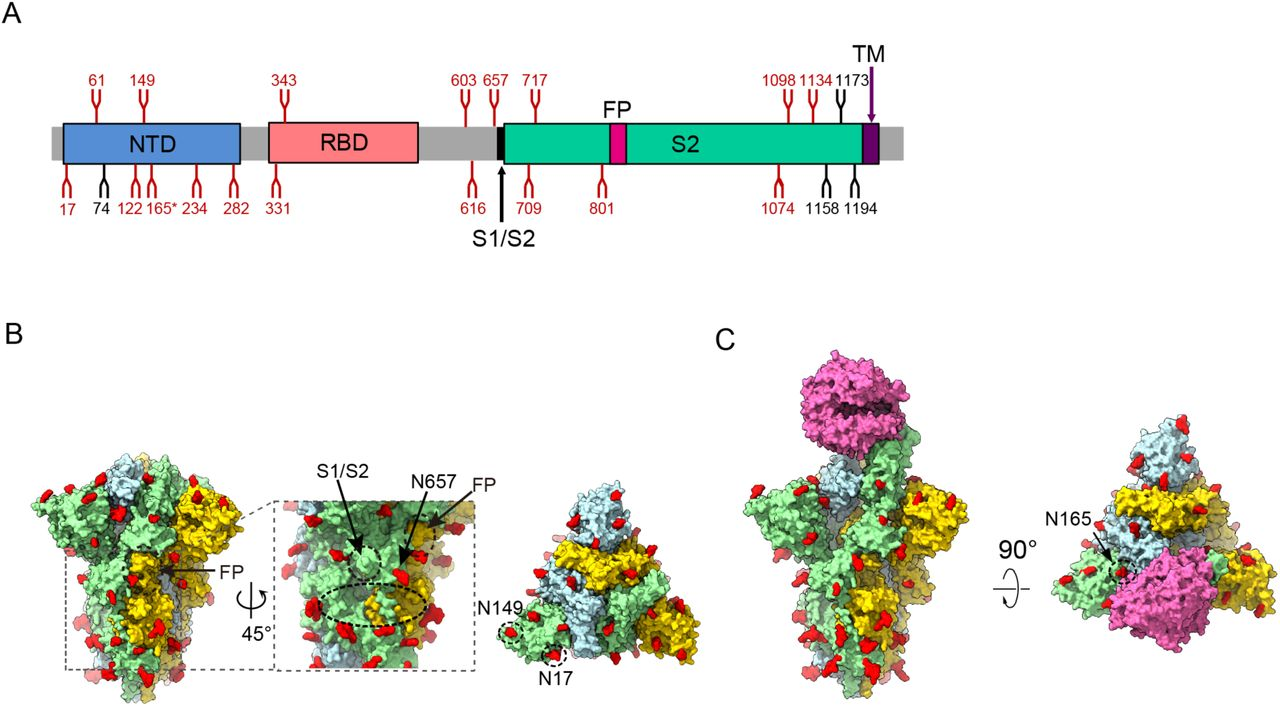 Organization of the resolved N-Linked glycans of SARS-CoV-2 S trimer. (A) Schematic representation of SARS-CoV-2 S glycoprotein. The positions of N-linked glycosylation sequons are shown as branches. 18 N-linked glycans detected in our cryo-EM map of the S-closed state are shown in red, the remaining undetected ones in black. After ACE2 binding, the glycan density that appears weaker is indicated (*). (B) Surface representation of the glycosylated SARS-CoV-2 S trimer in the S-closed state with N-linked glycans shown in red. The location of glycan hole is indicated in black doted ellipsoid, with the locations of S1/S2 and FP, and glycan at N657 site near the glycan hole indicated. The newly captured glycans at N17 and N149 sites are indicated in the top view. (C) Surface representation of the glycosylated S-ACE2 complex with N-linked glycans in red. After ACE2 binding, the glycan density that appears weaker is indicated.