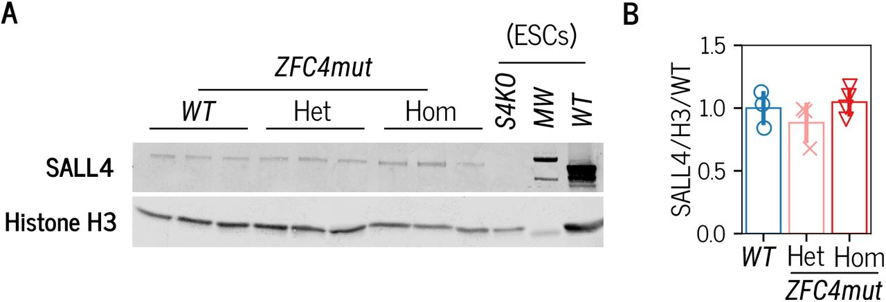 A. Western blot analysis of SALL4 in WT, ZFC4mut heterozygote (Het) and homozygote ( Hom ) embryos at E10.5. WT and S4KO ESC protein extracts were used as controls. B. Western blot quantification of SALL4 expression levels in ZFC4mut embryos (as presented in panel A), normalised to Histone H3 expression and relative to WT . Data points indicate independent embryos and error bars standard deviation.