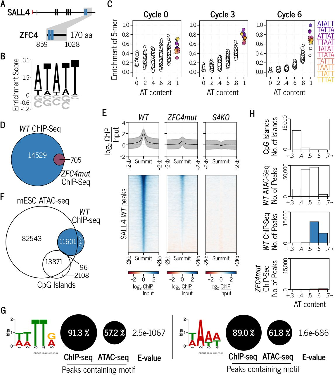 Characterisation of SALL4 C2H2 zinc-finger cluster 4 (ZFC4) DNA binding in vitro and in vivo A. SALL4 ZFC4 protein fragment used for in vitro HT-SELEX experiments. B. Preferred 5-mer motif identified after 6 cycles of HT-SELEX with SALL4 ZFC4. C. Relative enrichment of 5-mer motifs categorised by AT-content at cycle 0, 3 and 6 of HT-SELEX with SALL4 ZFC4. Coloured circles are the most enriched motifs at cycle 6 of HT-SELEX. D. Venn diagram showing the overlap of SALL4 ChIP-seq peaks between WT and ZFC4mut ESCs. E. Profile plot and heatmap showing SALL4 ChIP-seq signal at SALL4 WT ChIP-seq peaks in the indicated cell lines. F. Venn diagram showing the overlap of SALL4 ChIP-seq peaks detected in WT ESCs with ATAC-seq peaks (accessible chromatin) and CpG islands. G. Results from de novo motif analysis at SALL4 WT ChIP-seq peaks (summit +/- 250bp) showing the relative frequency of each DNA motif and its associated E-value. ATAC-seq peaks were used as a control for regions of accessible chromatin. H. Analysis of the DNA base composition surrounding SALL4 ChIP-seq peaks (summit +/- 250bp) in WT (blue) and ZFC4mut (red) ESCs. CpG islands and ATAC-seq peaks coincide with regions of accessible chromatin and are shown for comparison.