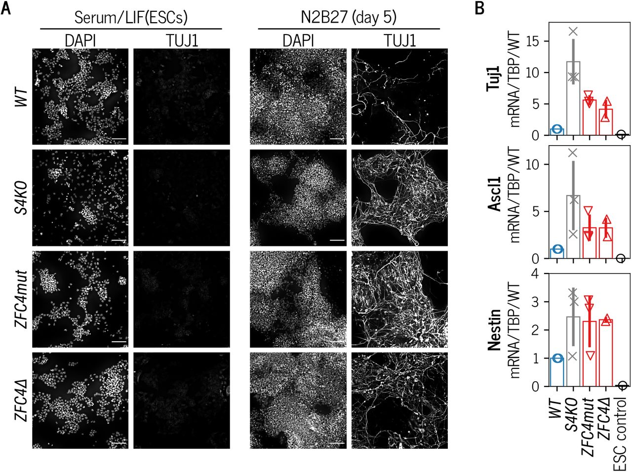 Phenotypic characterisation of SALL4 ZFC4 mutation during neuronal differentiation A. TUJ1 immunofluorescence in the indicated ESC lines cultured in serum/LIF medium, and following differentiation for 5 days in N2B27 medium. DNA was stained with DAPI. Scale bars: 100μm. B. RT-qPCR analysis of the neuronal markers Tuj1, Ascl1 and Nestin in the indicated cell lines following differentiation for 5 days in N2B27 medium. Transcripts levels were normalised to TBP and expressed relative to WT . Data points indicate independent replicate experiments and error bars standard deviation.