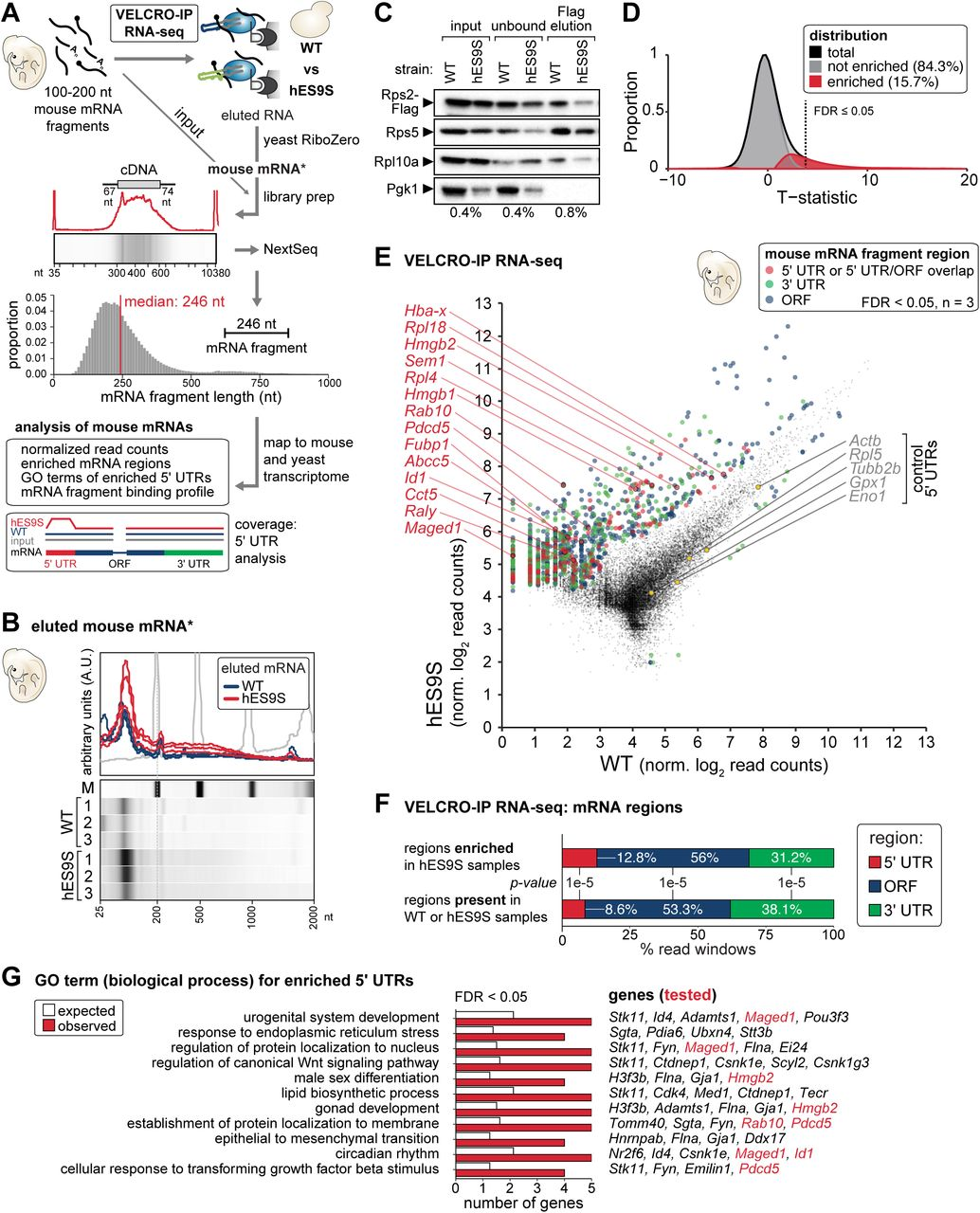 VELCRO-IP RNA-seq identifies global ES-mRNA interactions with positional resolution on mRNAs. (A) For VELCRO-IP RNA-seq, mRNA was isolated from stage E11.5 mouse embryos, fragmented to 100-200 nt and used as input for the IP. Total RNA obtained from all samples after elution and yeast rRNA depletion obtains ribosome-bound mouse mRNA that was subjected to library preparation and Illumina high-throughput sequencing (NextSeq). We included an mRNA fragment input sample for reference. The distribution of mRNA fragment lengths for all sequenced libraries is plotted and the median fragment length is 246 nt. We then map all reads to the mouse and yeast transcriptomes and only further analyze reads exclusively mapping to mouse mRNAs. (B) Eluted and yeast rRNA-depleted mouse RNA from three independent replicates of WT and hES9S VELCRO-IP experiments were analyzed on a mRNA Pico Chip (Agilent) on a Bioanalyzer (Agilent) and a zoomed-in view of the Bioanalyzer quantification and electronic gel analysis is shown. The marker (M, grey) is overlaid for reference. See also Figure S3E . (C) WB analysis as in Figure 3C to monitor efficient IP of 40S ribosomes for RNA-seq of mouse mRNA fragments. Representative of n = 3 is shown. (D) Kernel density of the distribution of t-statistics for test of differential enrichment of mRNA fragments bound to hES9S vs WT ribosomes is plotted in black. Empirical estimate of the decomposition of the distribution to null and non-null tests are plotted in grey and red, respectively. Dotted line indicates where the local FDR of 0.05 is. (E) RNA-seq results of independent replicates (n = 3) for each WT and hES9S samples. Normalized log read counts are presented for WT and hES9S-enriched mRNA fragments. Fragments less than FDR